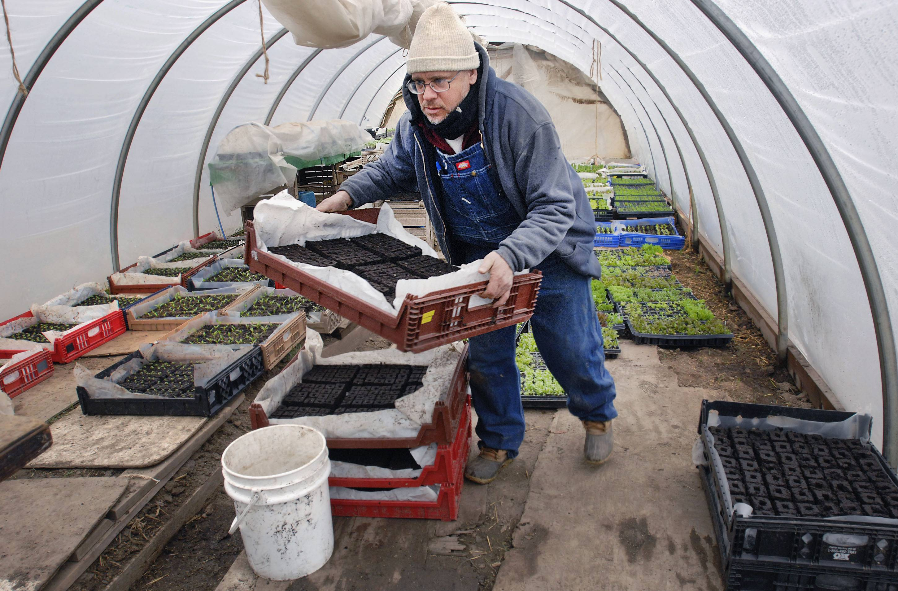 Henry Brockman prepares to transfer shiso seedlings into growth medium while working in his greenhouse near Congerville.
