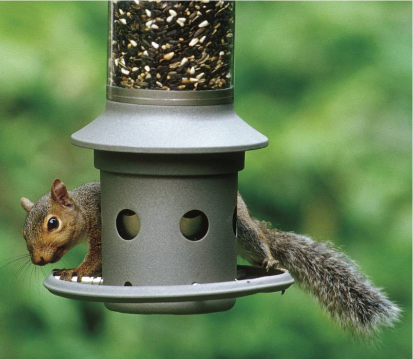 A squirrel attempts to eat bird seed on an Eliminator, a squirrel-proof bird feeder. It protects your bird seed from persistent squirrels by technology registering sensitivity set by the owner, that closes the seed ports based on weight of the intruder standing on the perch ring.