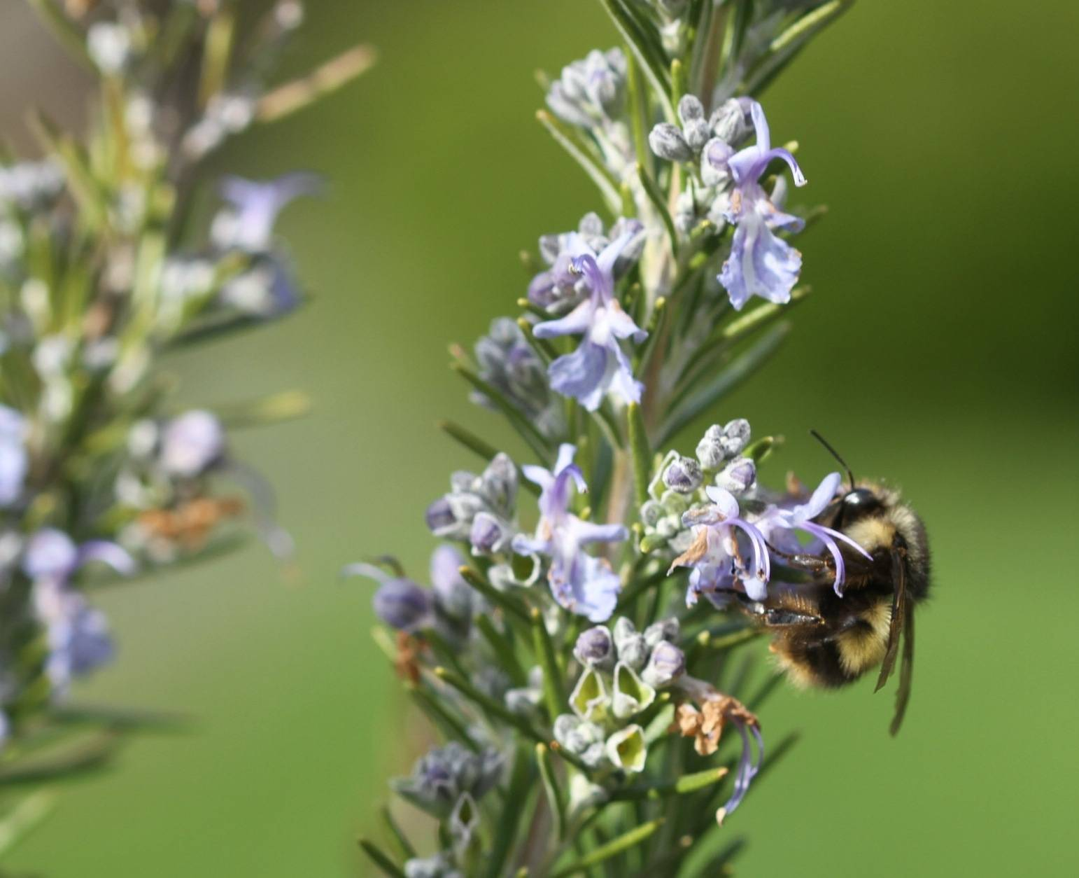 Honeybee numbers are dropping so steeply that some species are believed extinct. Gardeners can help by adding plants that flower both early and late in the season like these Rosemary blooms.