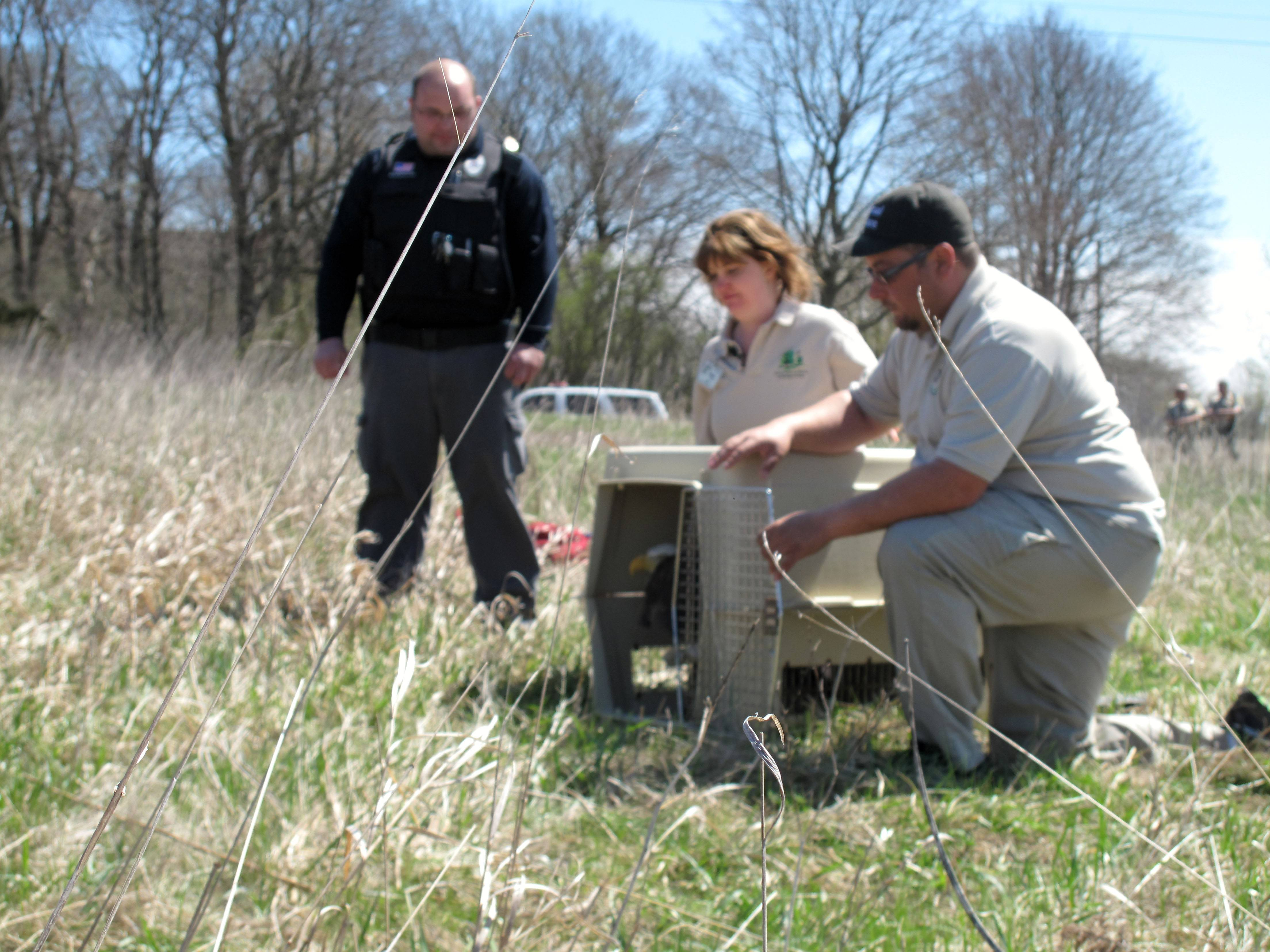 Robert Negrete of Stickney Township Animal Control opens a carrier containing a bald eagle about to be released Friday at Pratt's Wayne Foods Forest Preserve, while Rose Augustine of Willowbrook Wildlife Center and Barry Adamczyk of Oak Lawn Animal Control prepare for the moment of flight.
