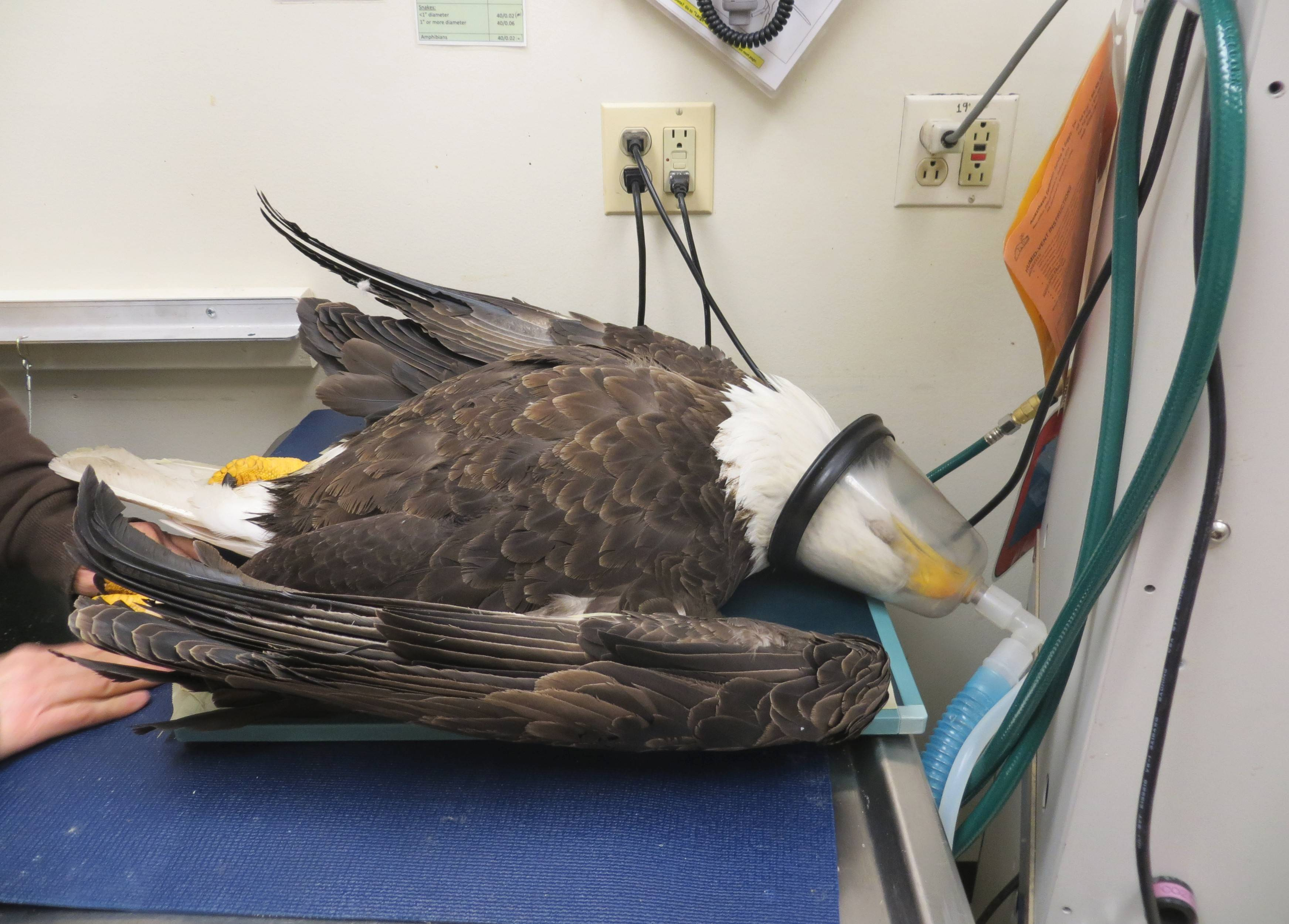 A male bald eagle found injured in Oak Lawn is prepared for surgery by Willowbrook Wildlife Center veterinarian Dr. Jen Nevis. The eagle was found in February with a BB gun wound but had recovered enough to be released Friday at Pratt's Wayne Woods Forest Preserve near Wayne.