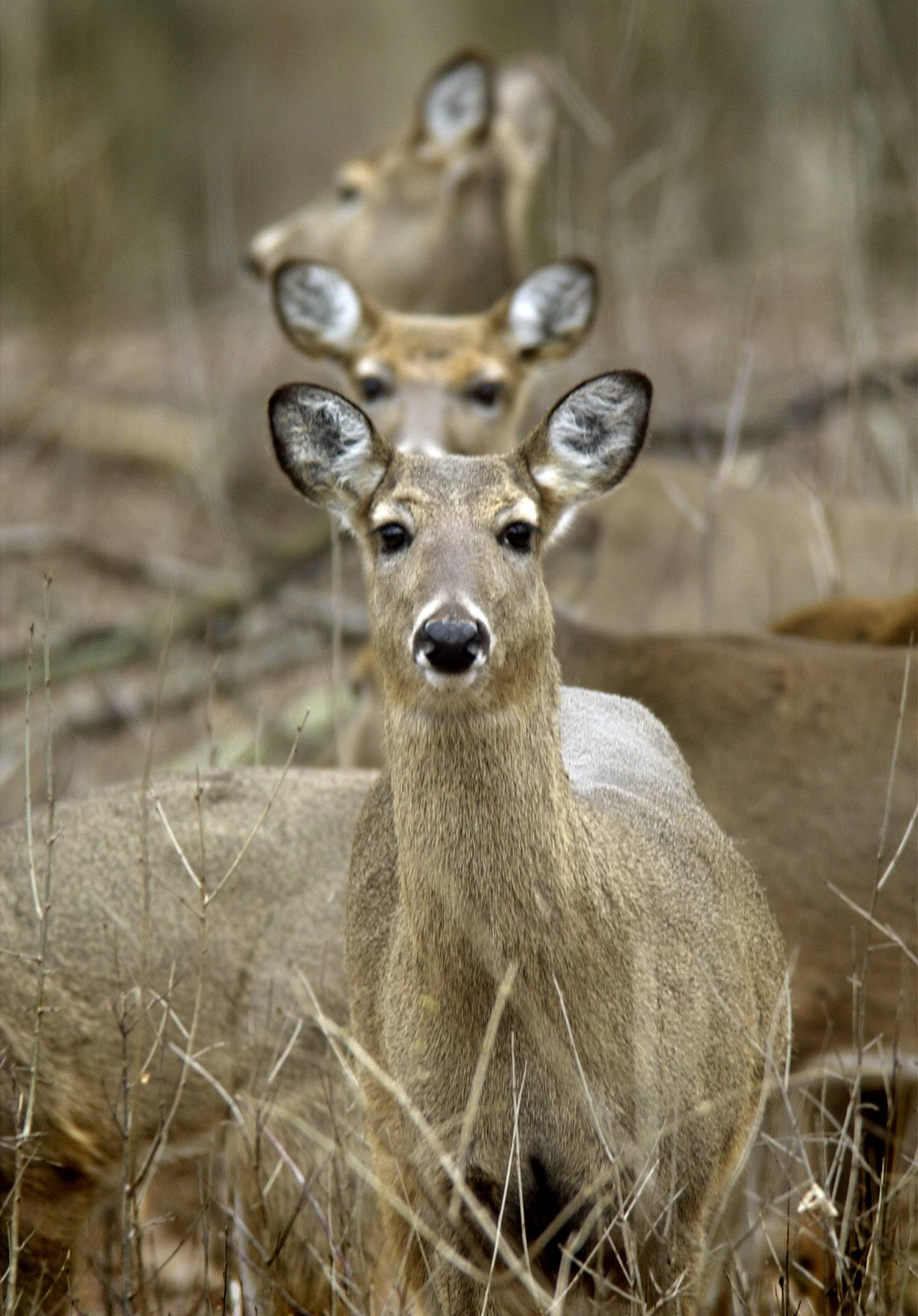 Chronic wasting disease attacks the brains of affected deer, causing them to become emaciated, display abnormal behavior, lose coordination and eventually die, according to the Illinois Department of Natural Resources.
