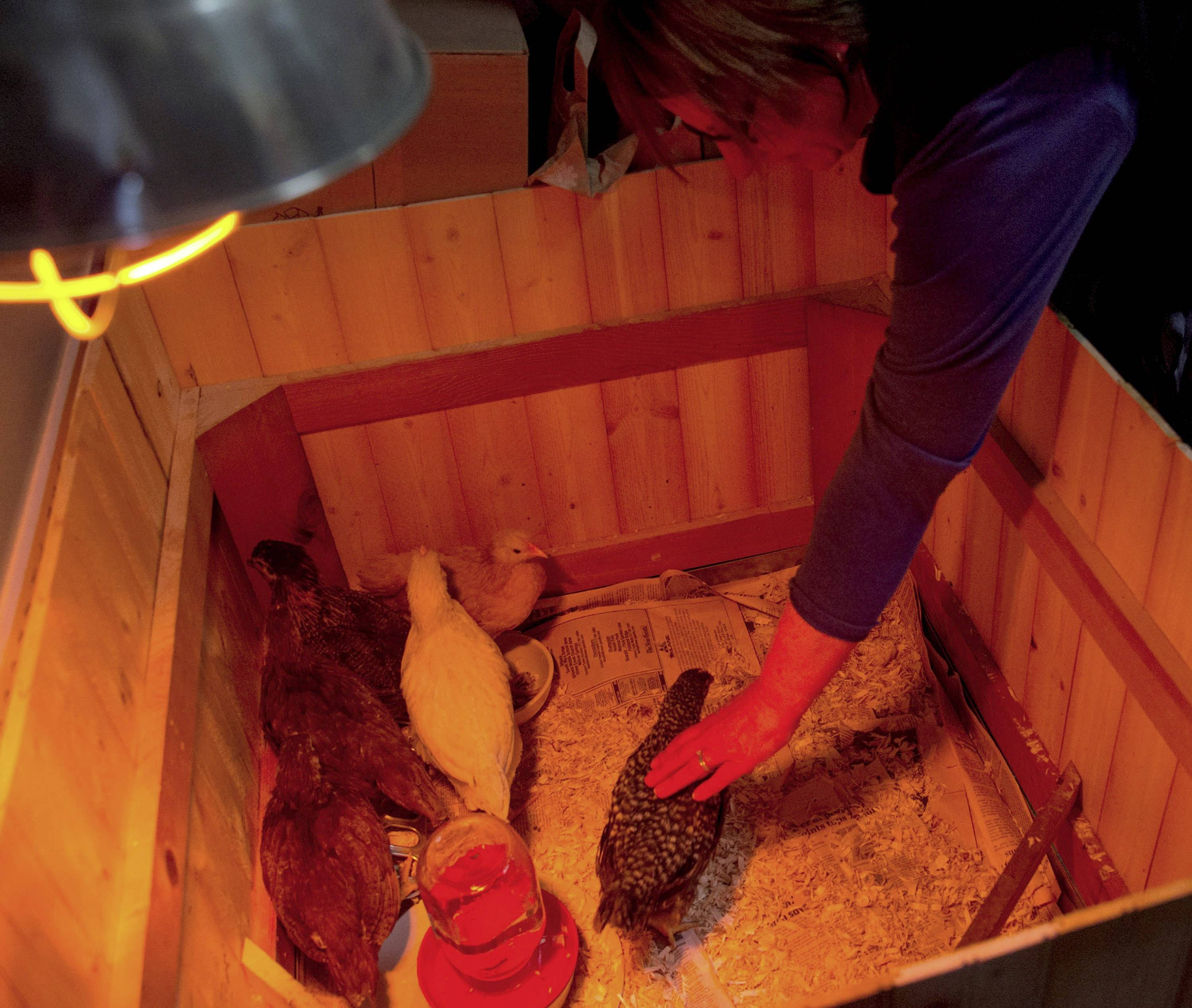 Angie Wolske pets one of her chickens, which shares space with other feathered friends under a heat lamp at her home in Champaign (AP Photo/The News-Gazette, Heather Coit) MANDATORY CREDIT