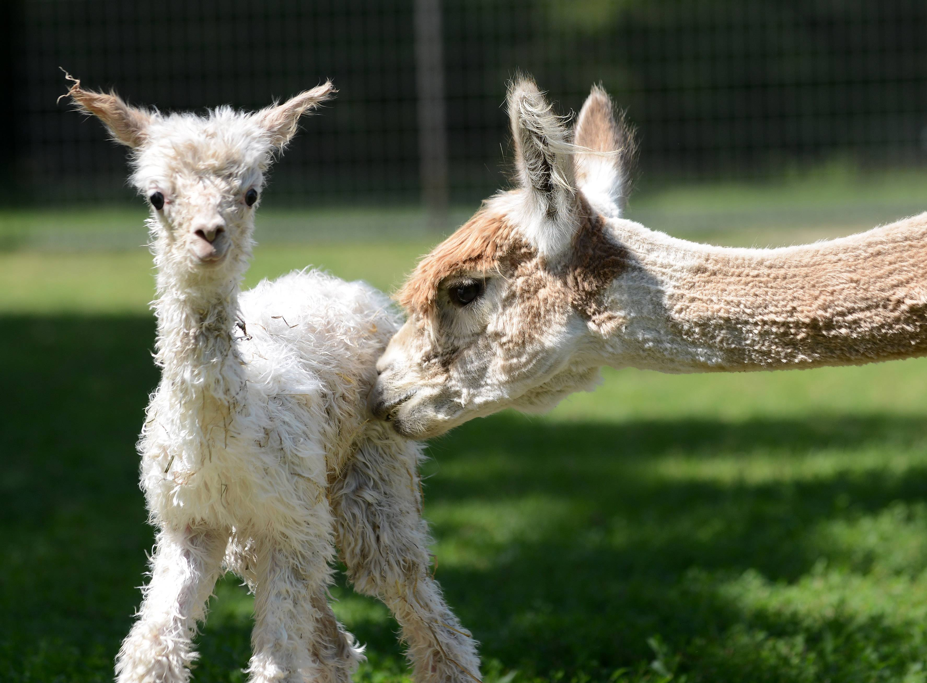 A mother alpaca stays close to her newborn baby at Waldron Grove Alpaca Farm. Visitors can check out alpacas for themselves, along with textiles, yarn made from alpaca fleece and artwork, when the farm hosts its spring open house this weekend.