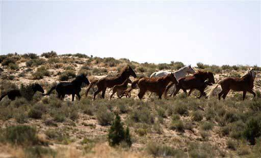 The Navajo Nation has estimated that some 75,000 feral horses are drinking wells dry and causing ecological damage to the drought-stricken range -- a figure that has been questioned as being too high.