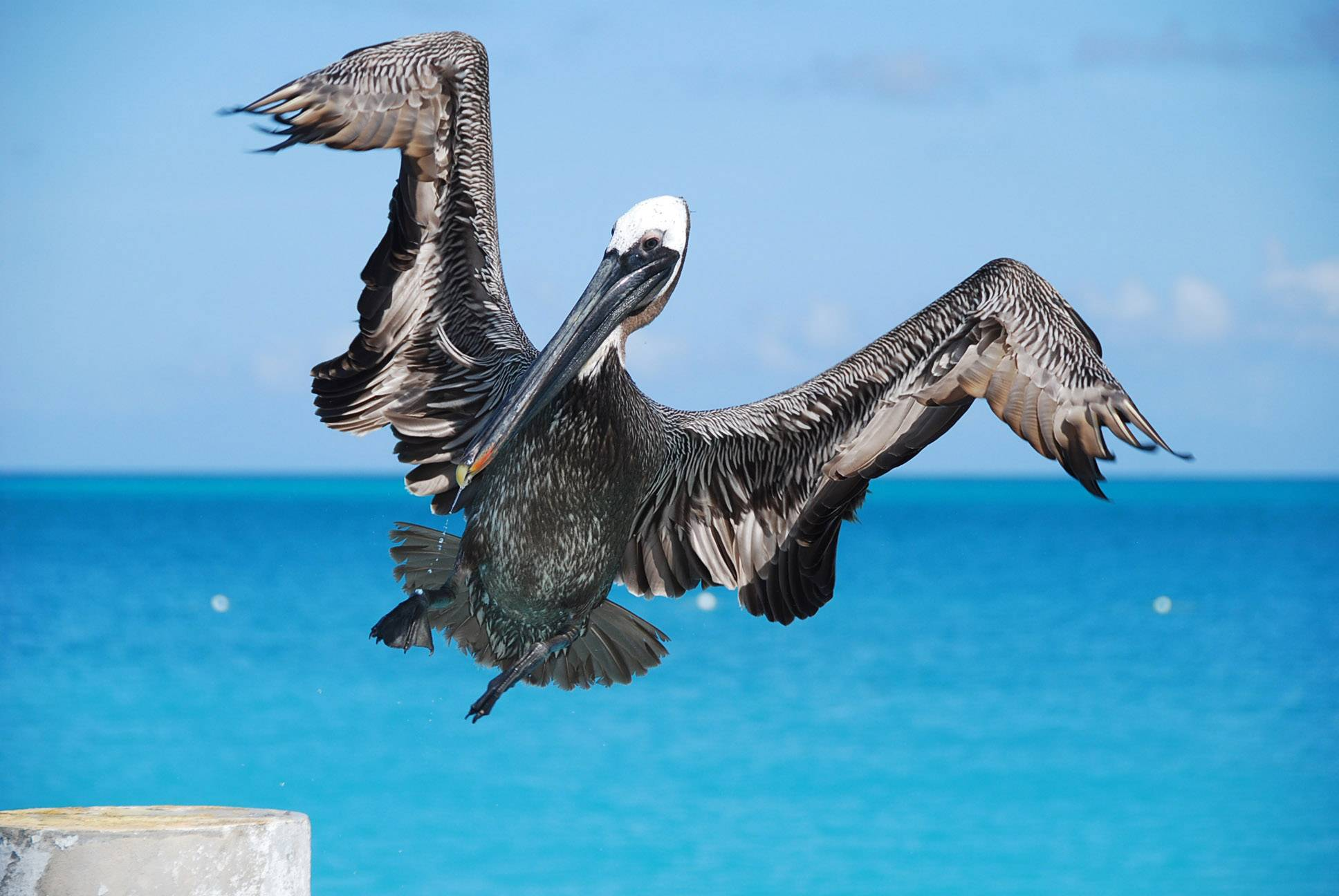 A pelican prepares to land on a pier piling at Club Med Turkoise Grace Bay Beach last month.