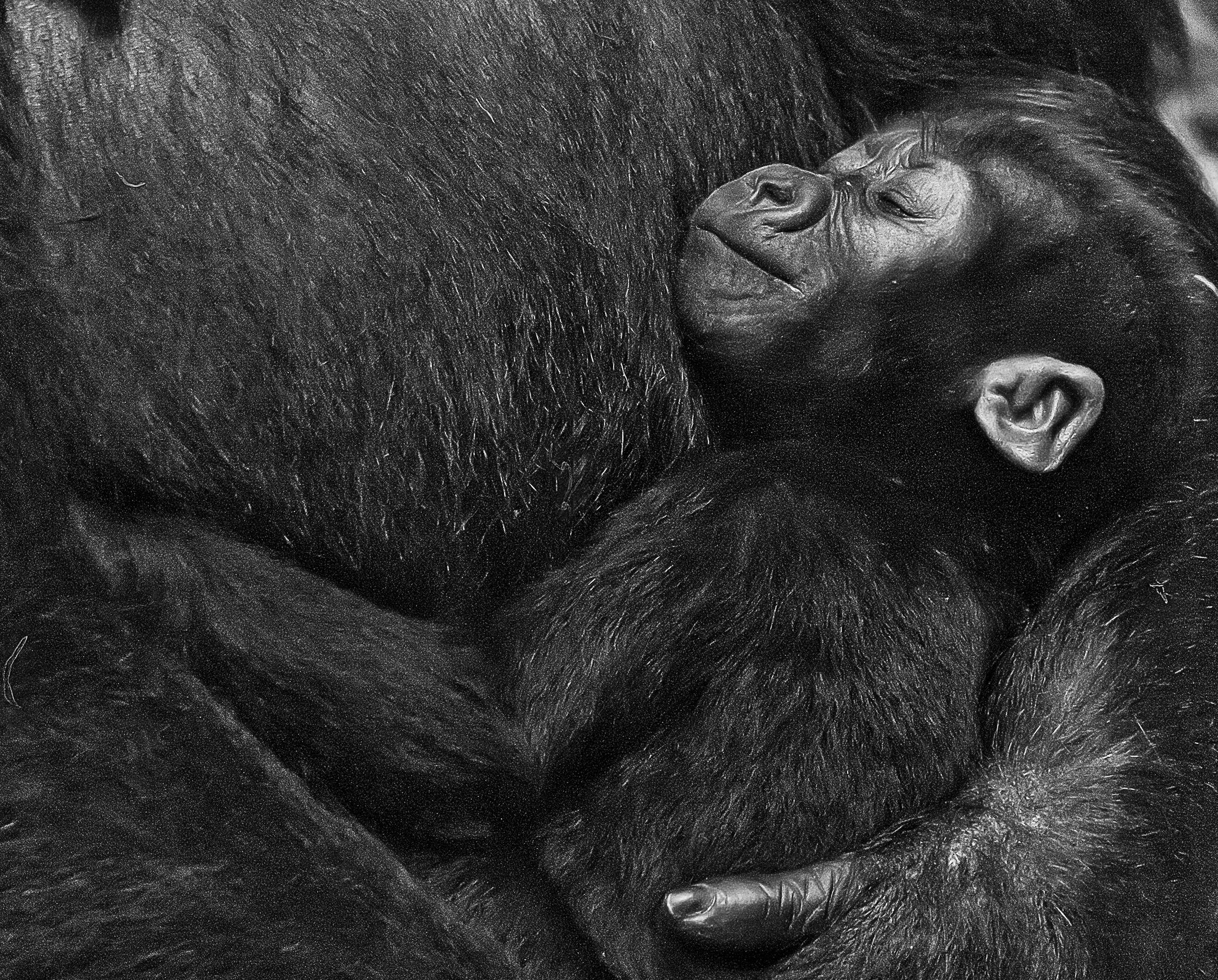 Nora was born at Brookfield Zoo last November. Mother seems to be very cautious about giving the public looks at Nora's face as she takes a nap cuddled in mom's arm.