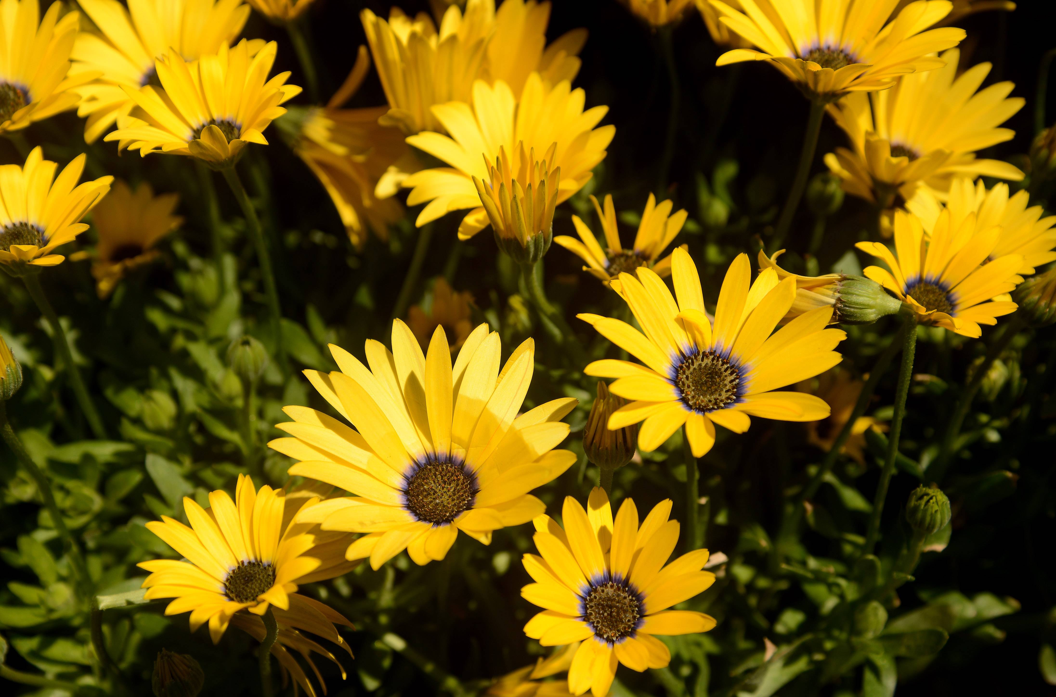 "African Daisy, also called osteospermum, puts out bright, bold colors, making them perfect to choices to enliven your landscape. ""Bright, bold colors, like tangerine, purple and bright greens, are hot this year,"" said Jean Bragdon, operations manager at Lurvey's Garden Center in Des Plaines."