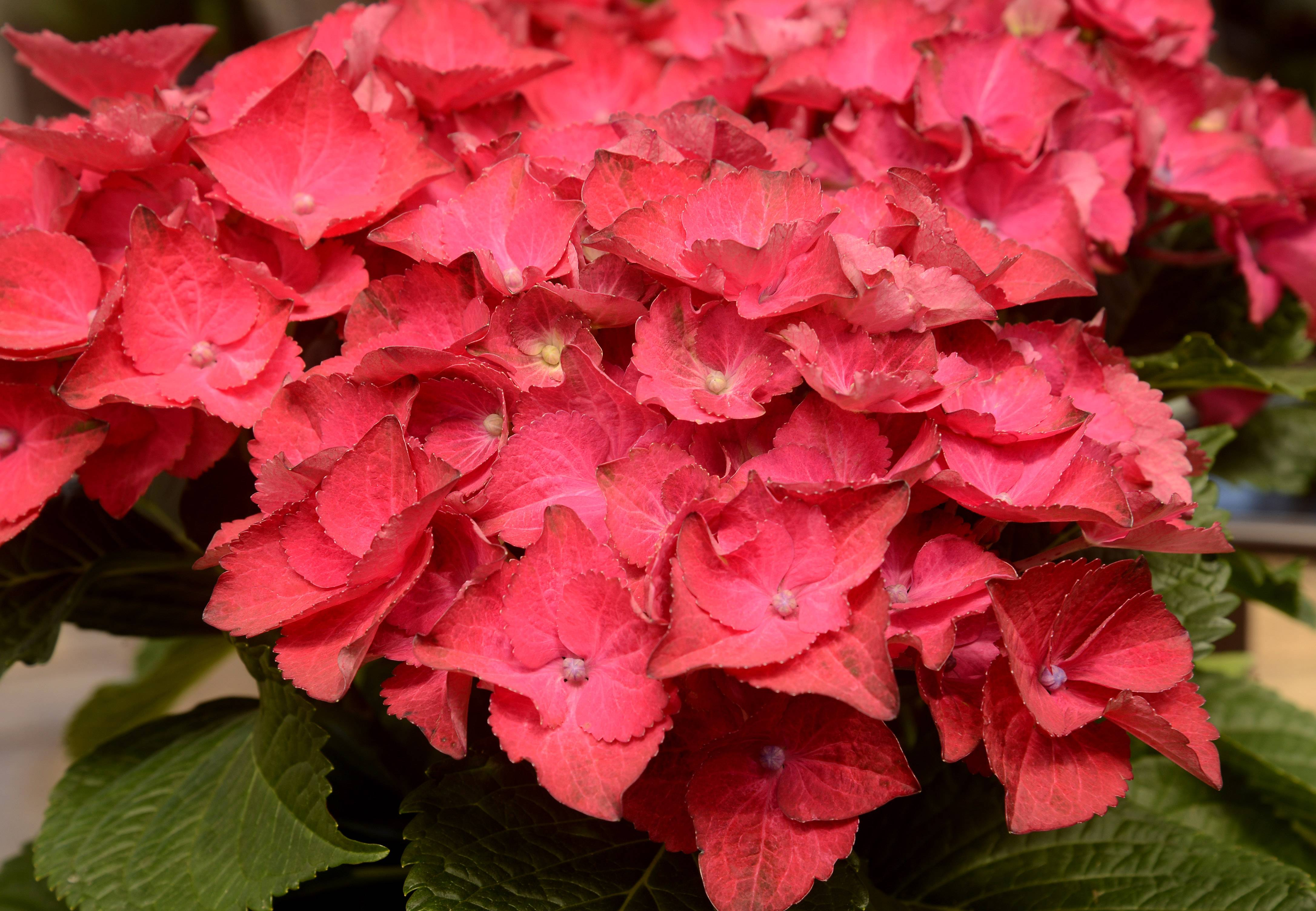 This hydrangea from Lurvey's Garden Center in Des Plaines will provide color from summer until fall.