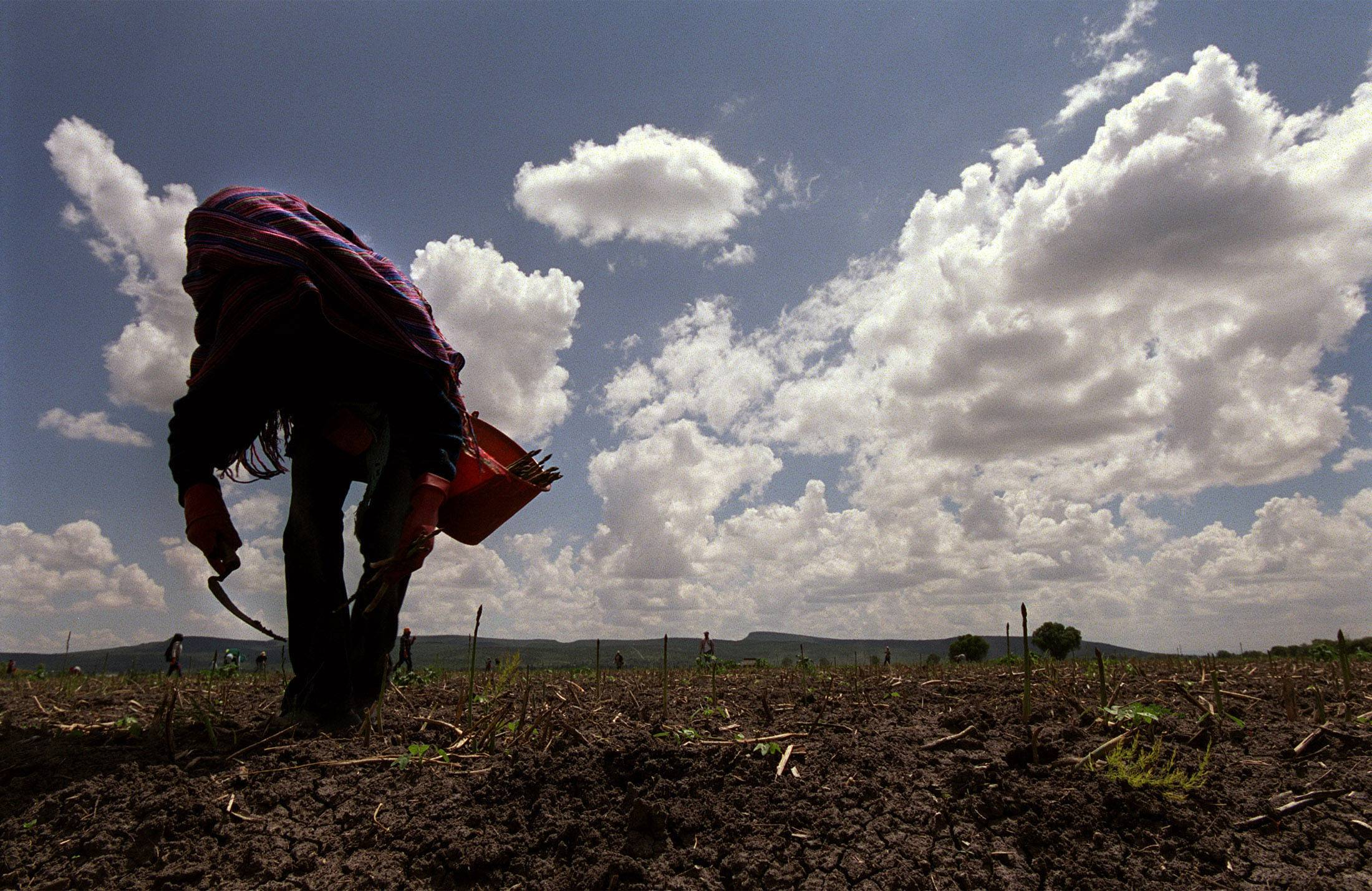 18-year-old Nadia Tovar harvests asparagus in a field in Guanajuato for roughly one-sixth of what workers would earn in the U.S. Nadia quit school several years ago to earn more money for her family.