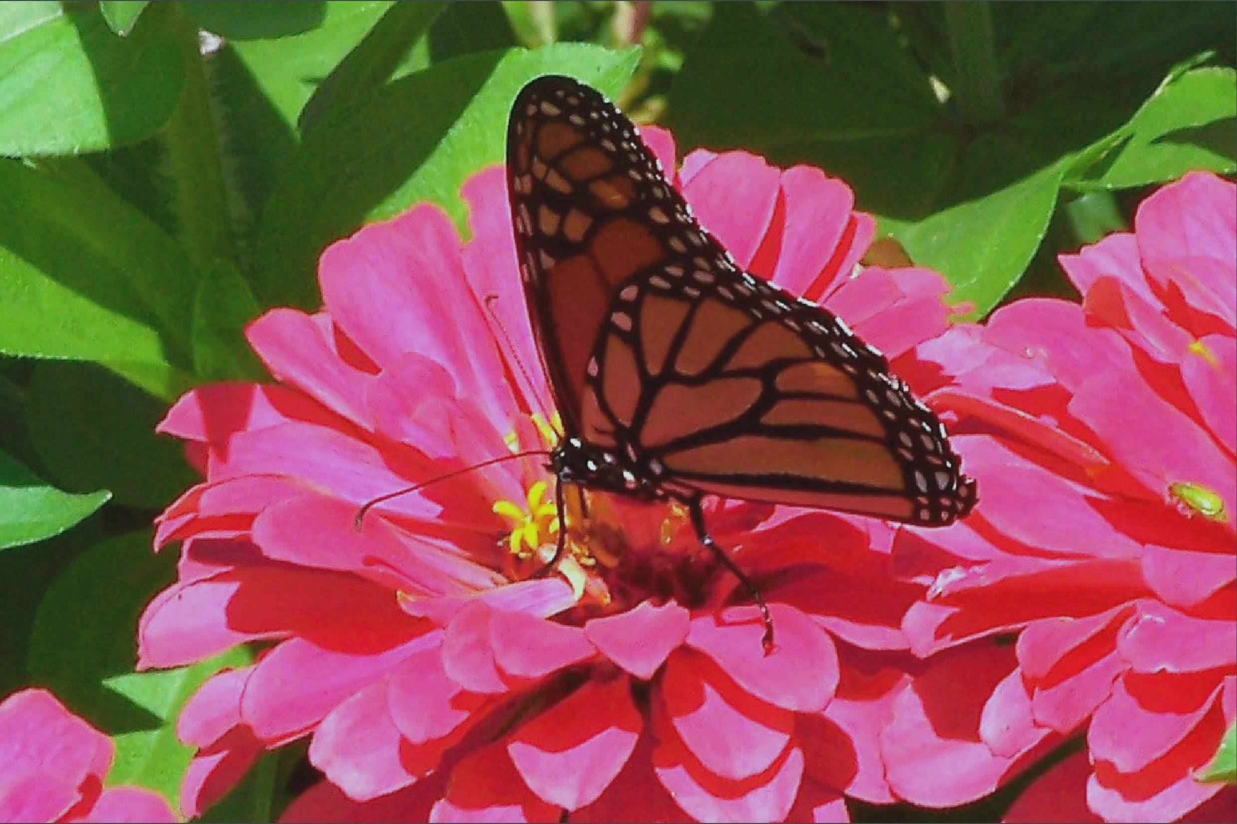 Zinnias are easy to grow and butterflies love them!