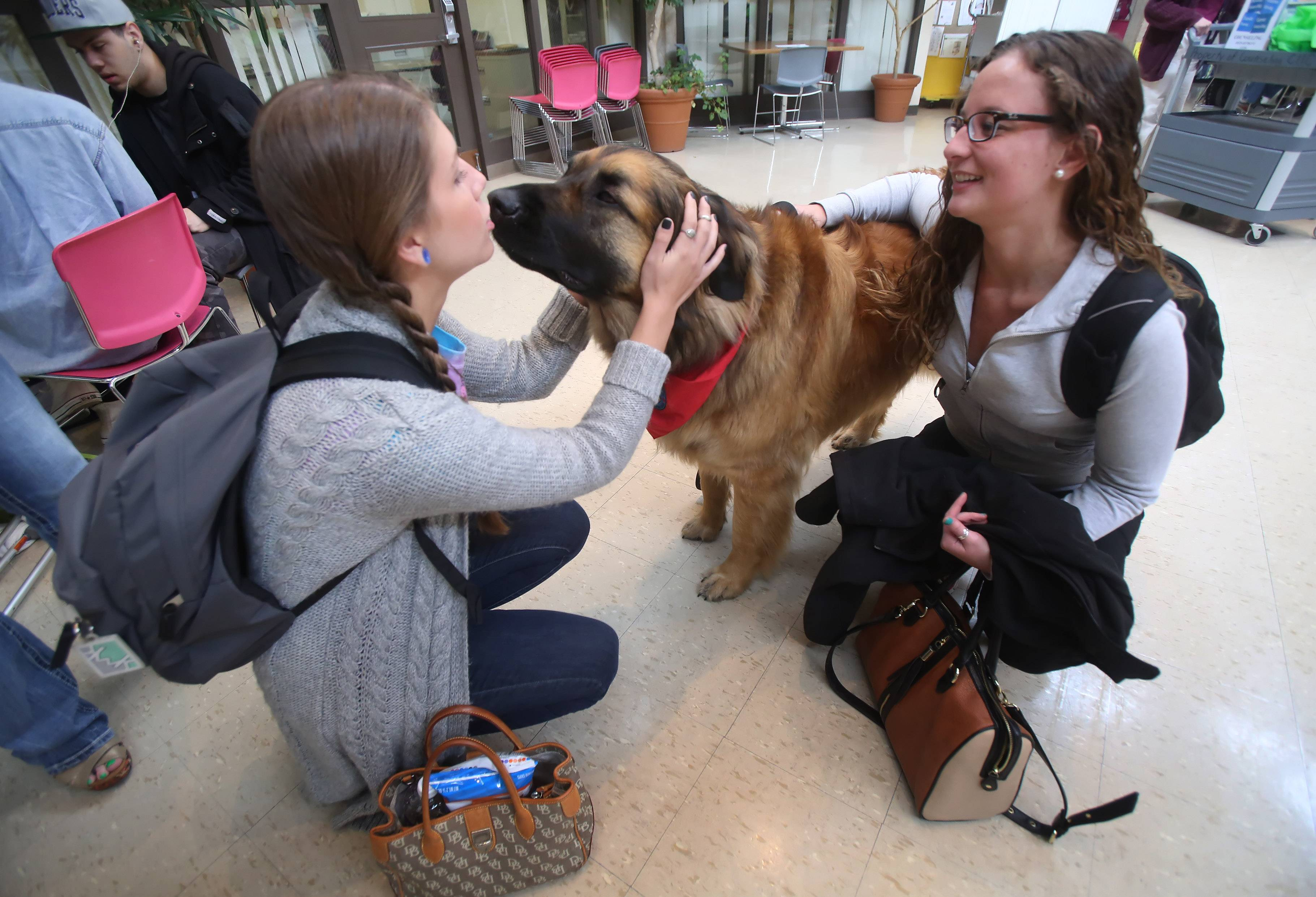 College of Lake County students Julia Metzger, left, and Jessica Gordon, both of Mundelein, pet and kiss Ebytes, a Leonberger, one of the Therapy Dogs International canines greeting students this week at the Grayslake campus. The dogs were on hand to help students de-stress during finals week.