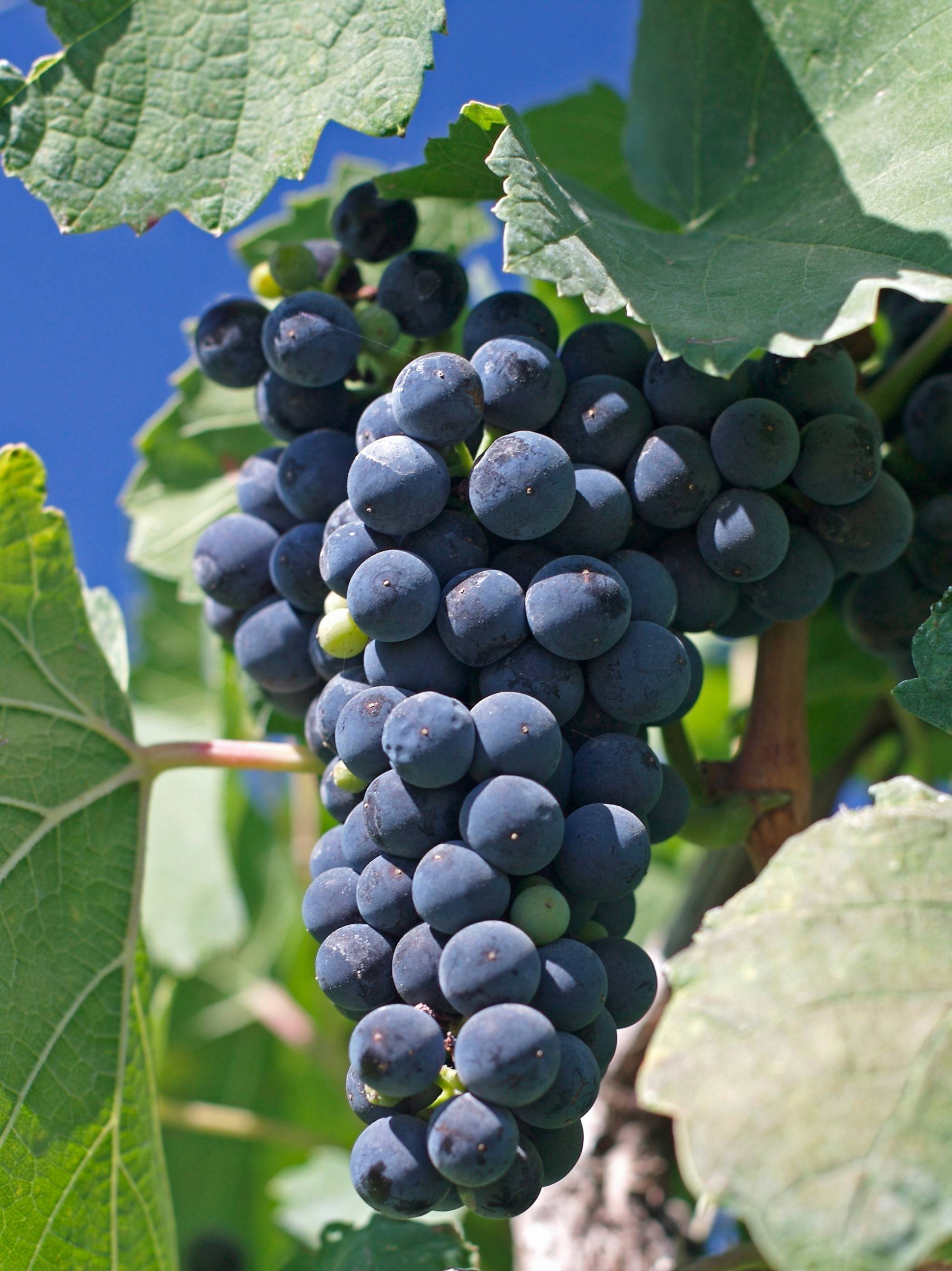 Cabernet Franc grapes hail from France's Bordeaux region and are a favorite grape of Michigan winemakers.
