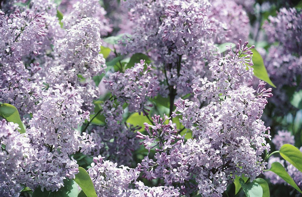 Hopefully, with some good planning, the focus for next year's Lilac Time festival will be more on the lilacs.