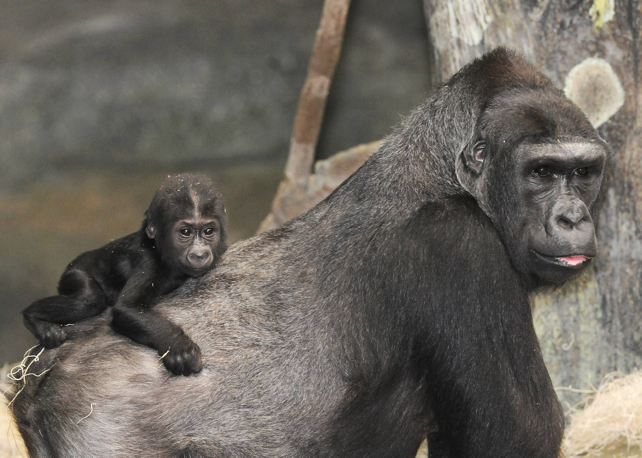Following the Mother's Day Brunch at Brookfield Zoo, guests can tour the zoo and see gorilla mother Koola, and her 5-month-old daughter, Nora, in the zoo's Tropic World area.