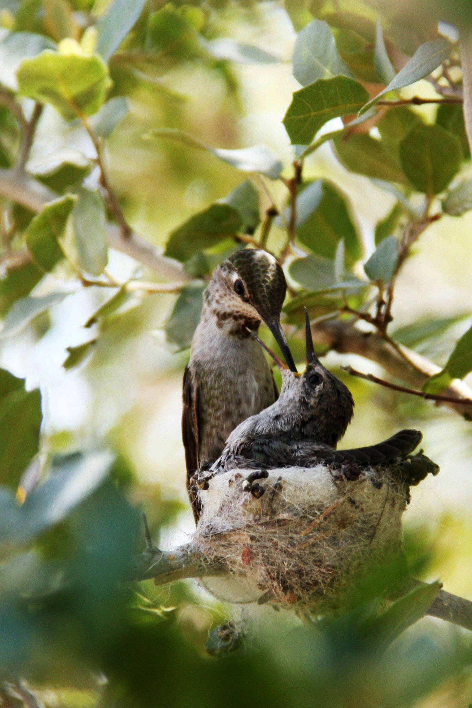 Mothers feed their young at the Hummingbird Aviary at the Arizona Sonora Desert Museum in Tucson, Ariz.