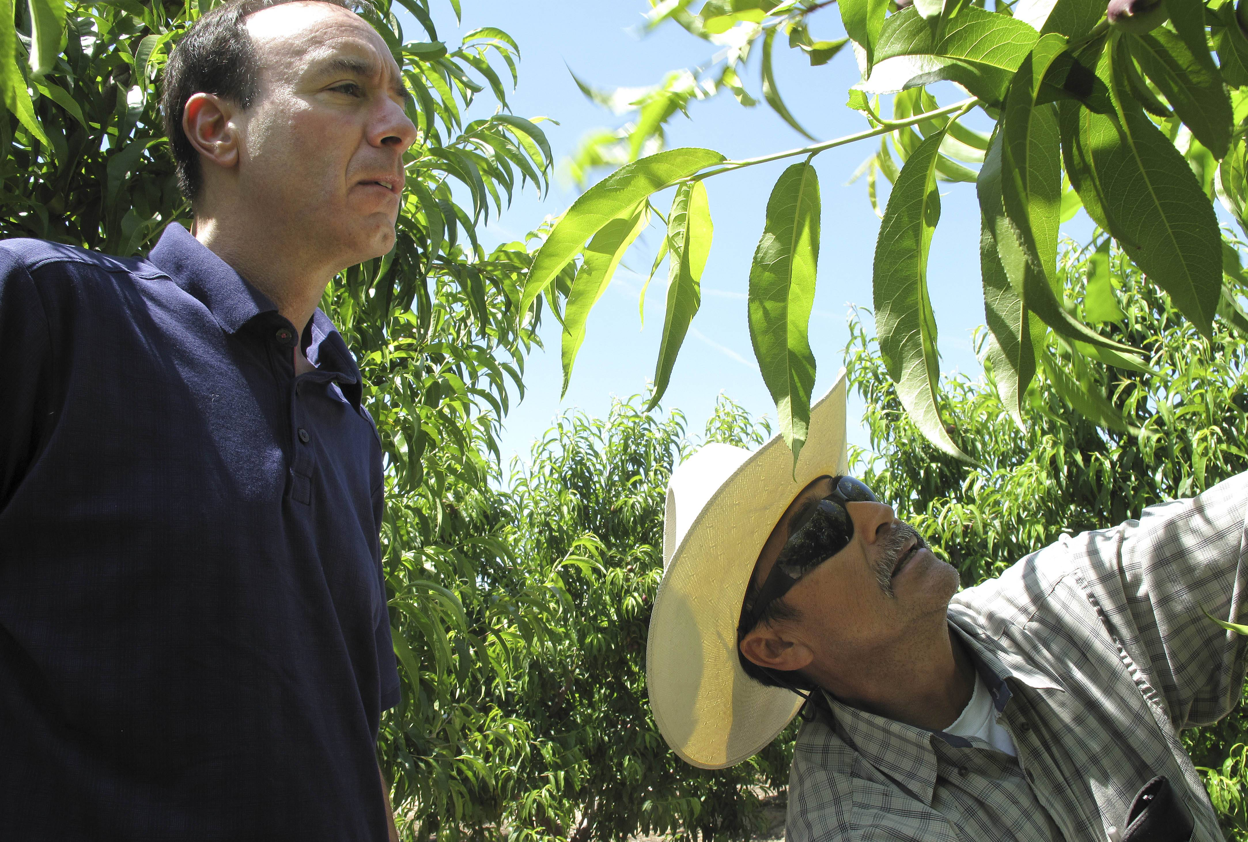 Dan Gerawan, owner of at Gerawan Farming, Inc., left, talks with crew boss Jose Cabello in a nectarine orchard near Sanger, Calif.
