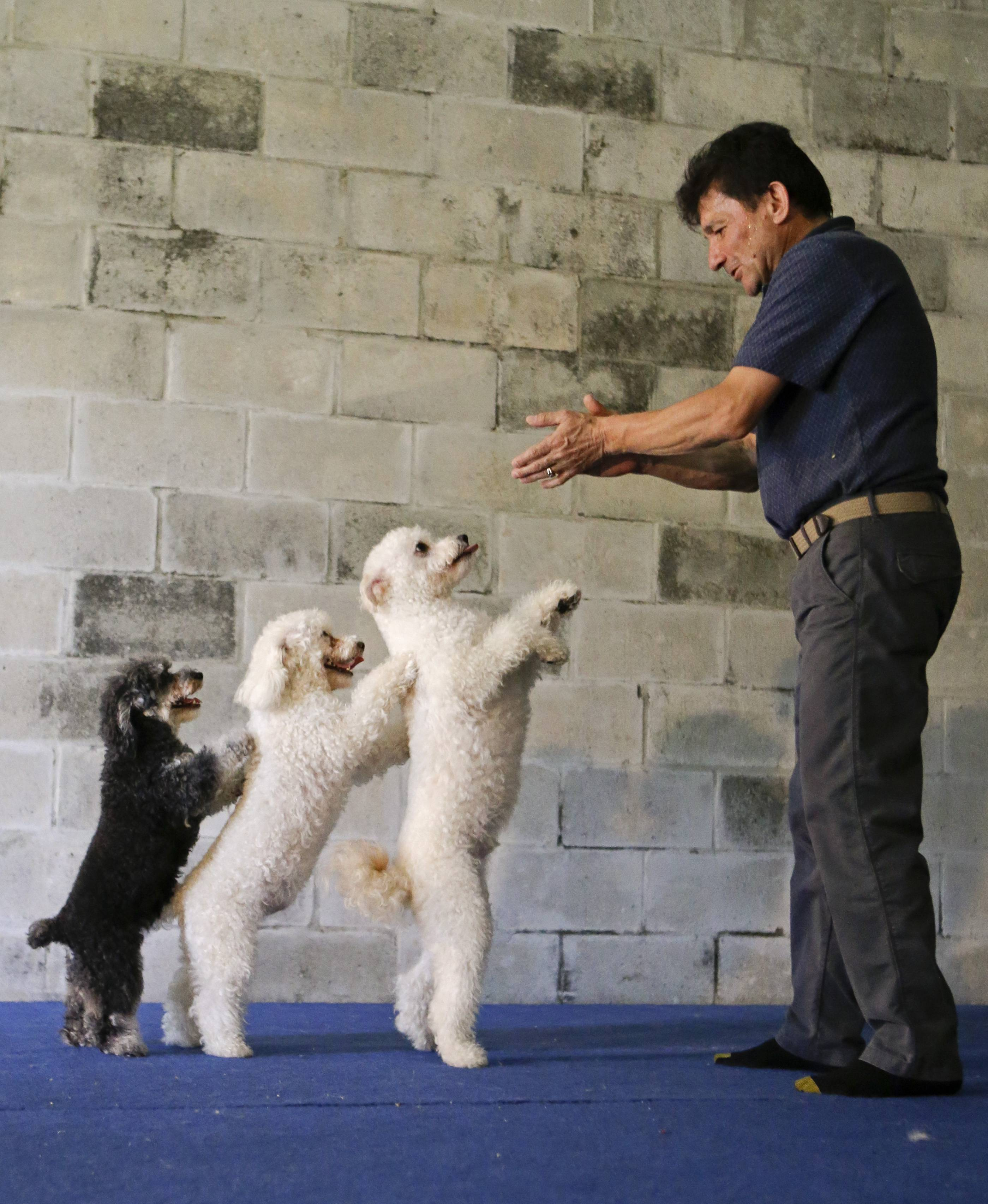 "Richard Olate works on a routine with performing dogs, from left, Loca, Copo and Toby, during a training session in Sorrento, Fla. Since the father and son took their 10 flipping, twirling dogs from the center ring of a circus to the stage of a reality show, where they won TV competition ""America's Got Talent,"" people pack their performances at large venues."
