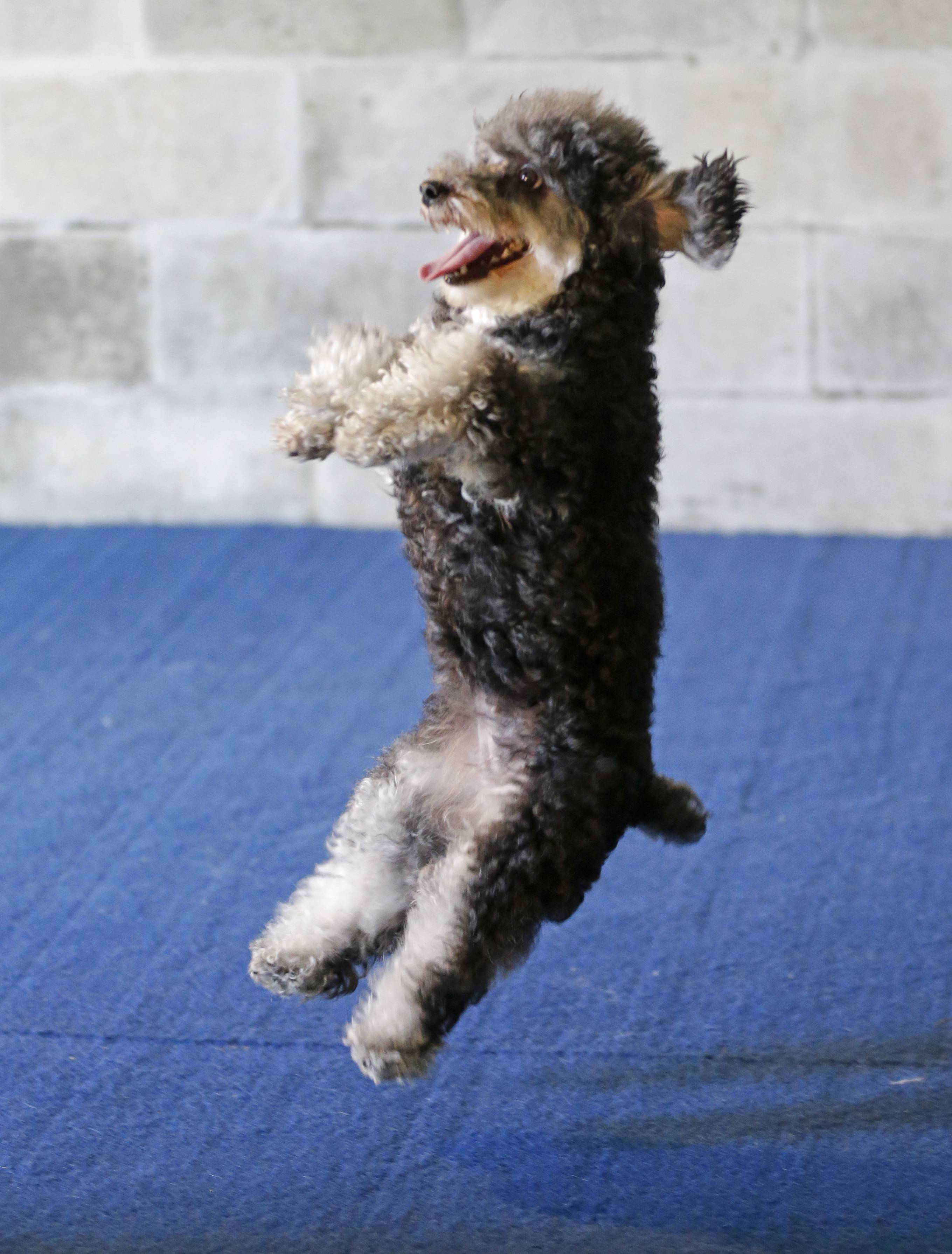 Loca, one of the Olate dogs, performs during a training session in Sorrento, Fla. The Olates spend more than 11 months a year on the road performing, and they have been tapped to star in short films bankrolled by Ellen DeGeneres' pet food company, one of which is set to screen at the Cannes Film Festival.