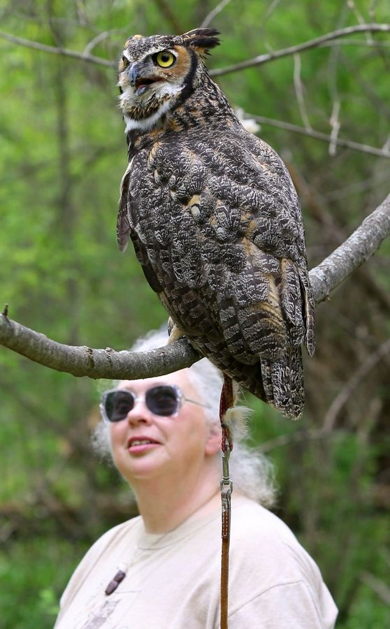 Karen Lund talks about the Great Horned Owl during Mother's Day with Birds of Prey at the Stillman Nature Center in South Barrington. According to Lund, skunks are one of this species' favorite prey.