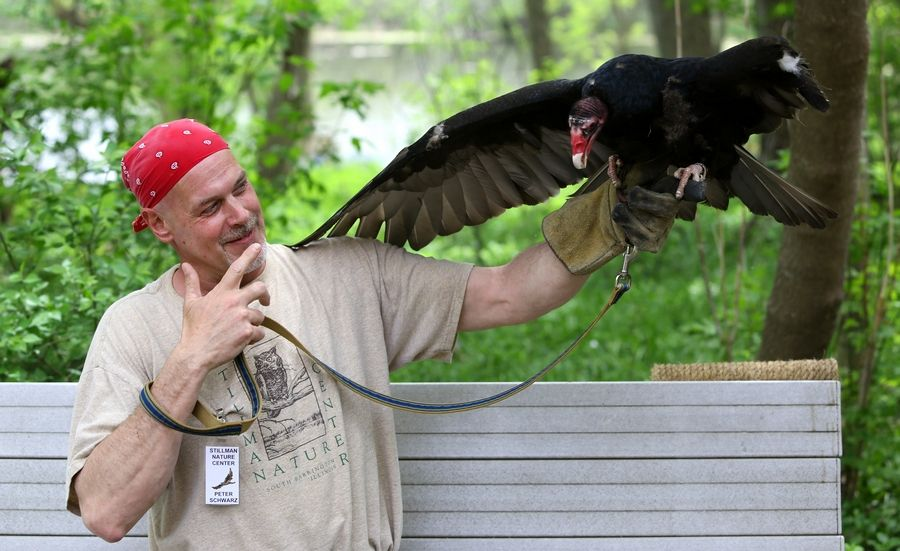 "Peter Schwarz unveils the first showing of a turkey vulture during Mother's Day with Birds of Prey at the Stillman Nature Center in South Barrington. ""The turkey vulture has a wingspan about the same size as an eagle,"" Schwarz said."