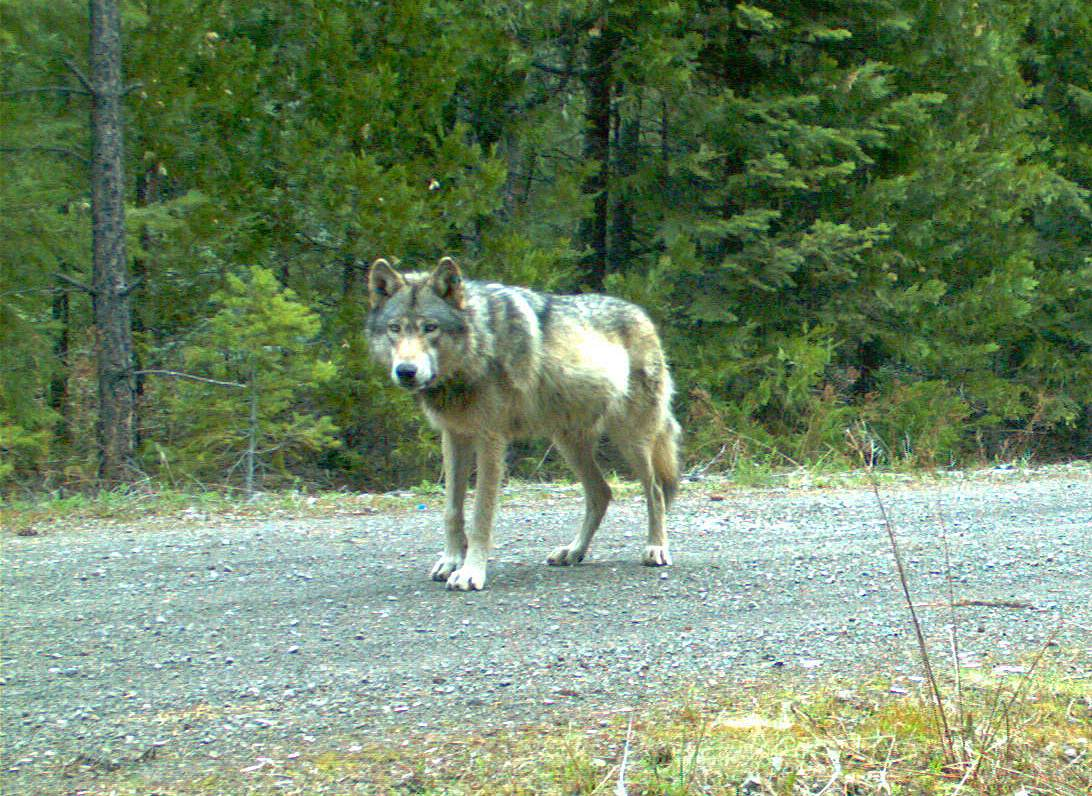 This remote camera photo taken May 3, shows the wolf OR7 in southwest Oregon's Cascade Mountains. He may have finally found the mate he has trekked thousands of miles looking for.