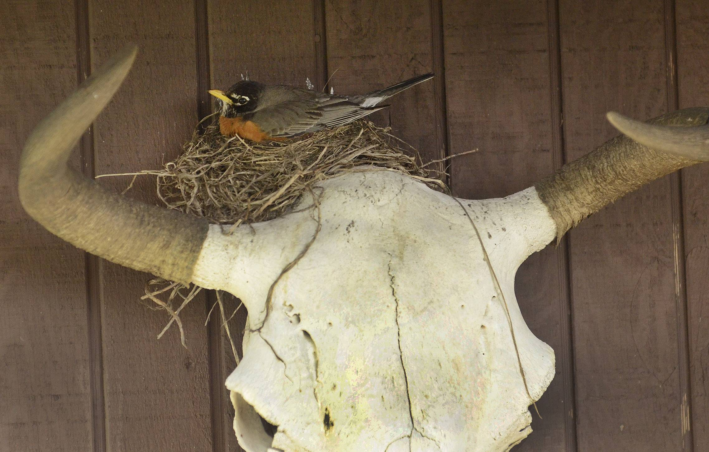 The robin that has built its nest on a buffalo skull in Ed Sokol's back yard.