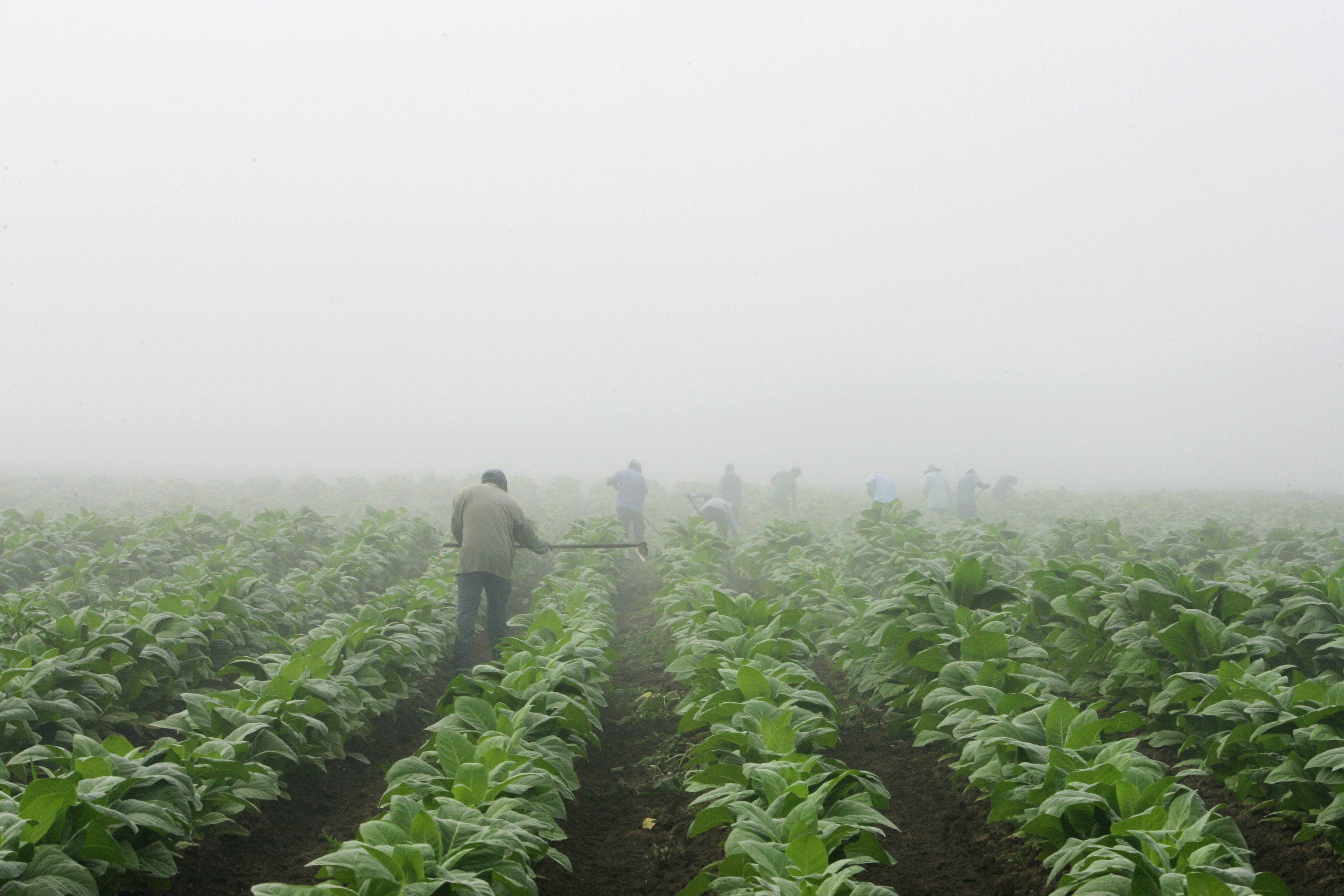 Farm workers make their way across a field shrouded in fog as they hoe weeds from a burley tobacco crop near Warsaw, Ky. You may have to be at least 18 to buy cigarettes in the U.S., but children as young as 7 are working long hours in fields harvesting nicotine- and pesticide-laced tobacco leaves under sometimes hazardous and sweltering conditions.