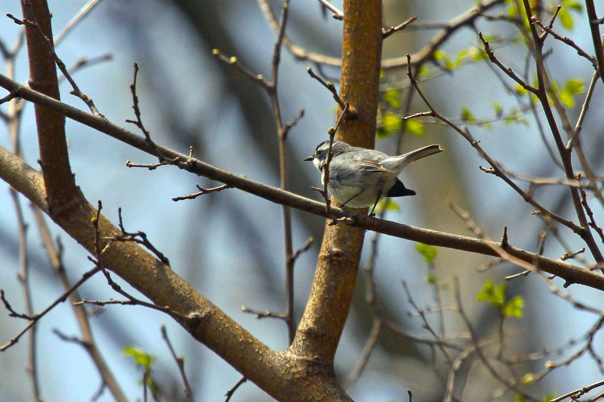 Birder and Judson University employee Eric Secker recently spotted a Black-throated Gray Warbler on campus. The bird, normally found along the West Coast, from California and Washington east to Colorado, strayed from its normal migration path and found its way to the 90-acre campus in Elgin.