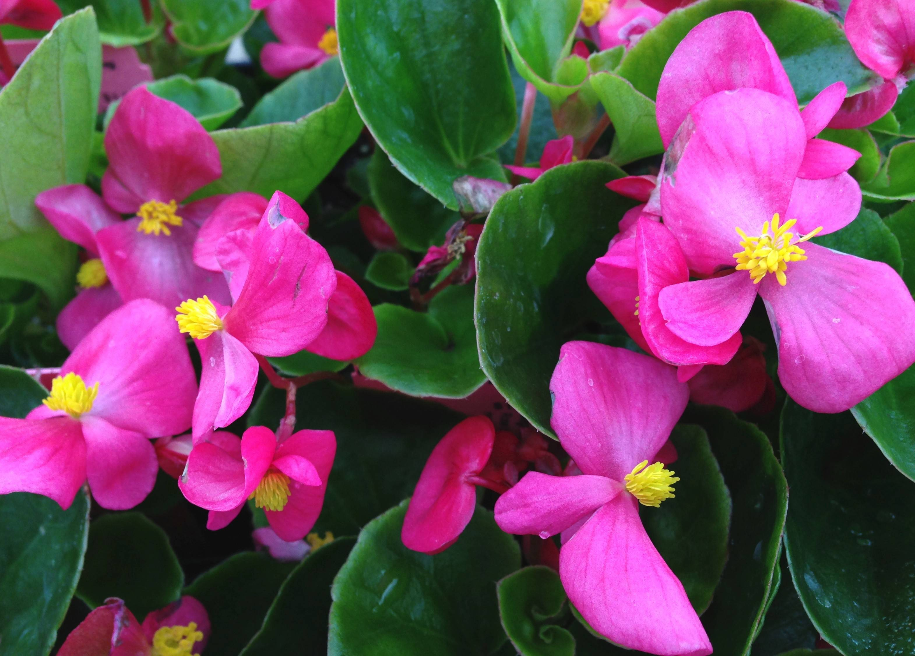 Wax begonias are a good alternative to Impatiens walleriana for shade gardens.