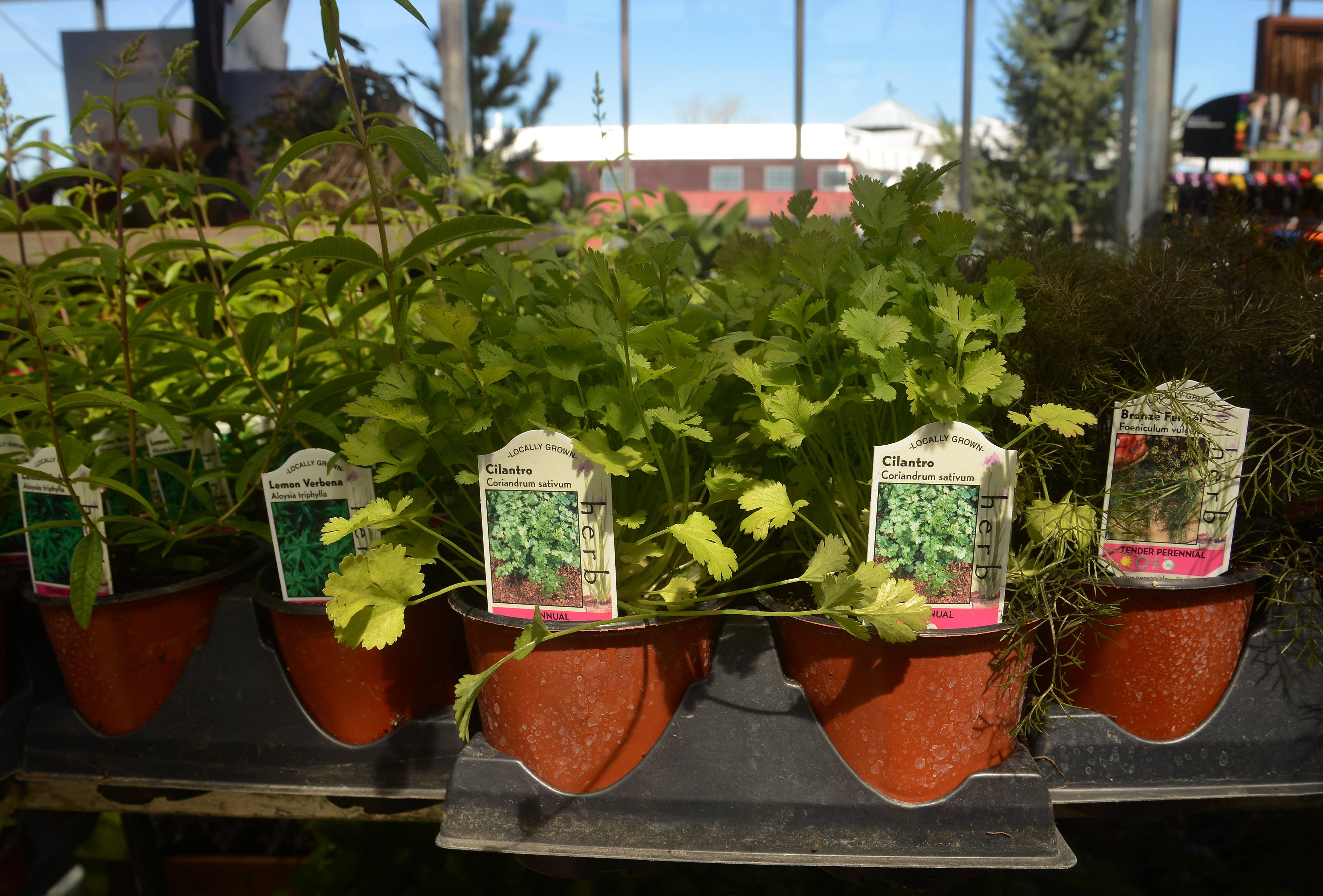 Herbs, including from left lemon verbana, cilantro and fennel found at Lurvey's Garden Center in Des Plaines, can be easy to grow and liven up your cooking.