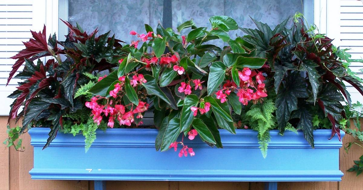 Color Up Your Shade Garden With Begonias