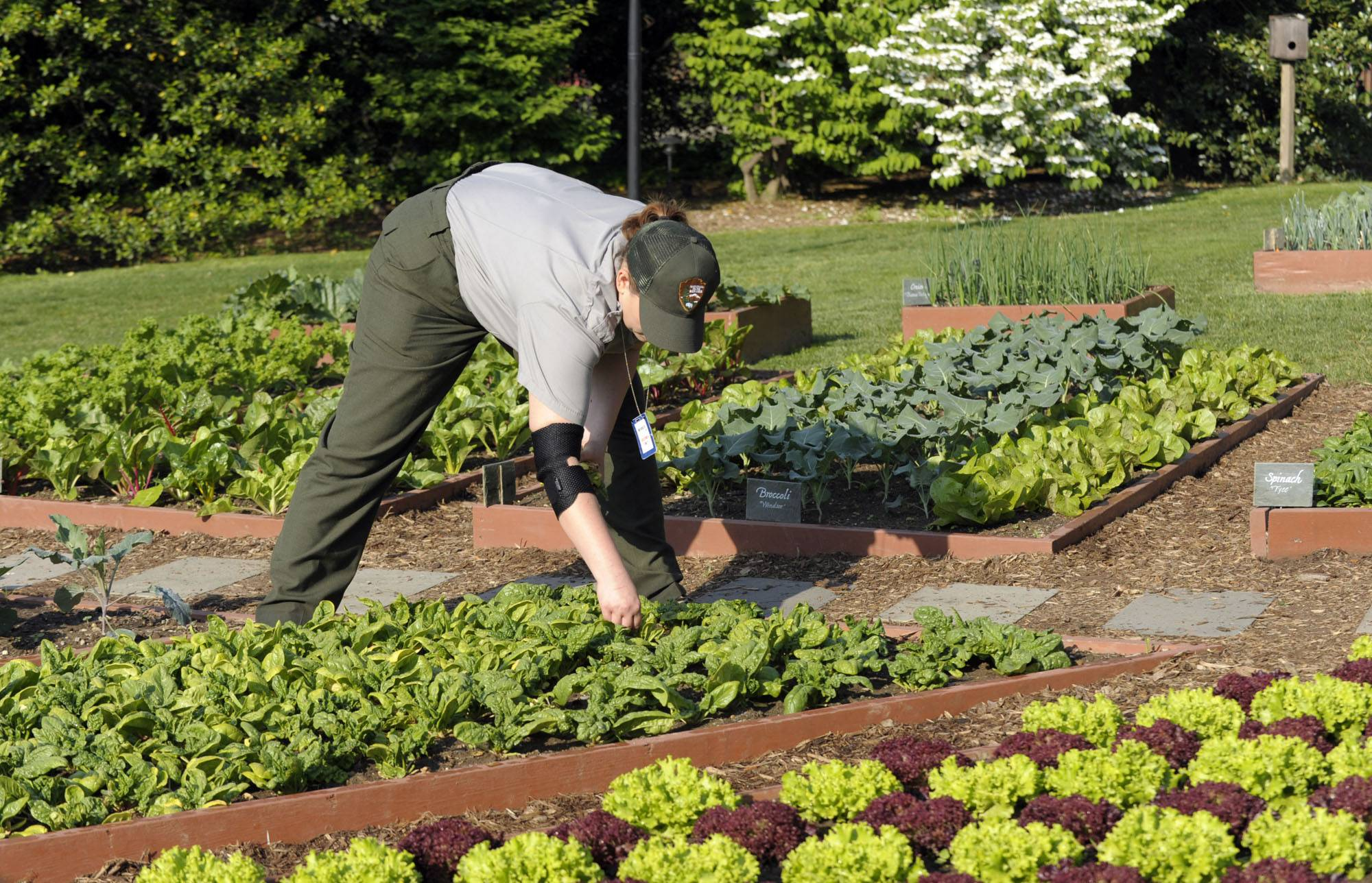 A National Park Service worker tends to the White House kitchen garden on the South Lawn of the White House in Washington. Plants that can offer high yields with low watering include leafy vegetables such as kale, lettuce and spinach; beans, snow peas and sugar snap peas; and some varieties of cucumbers and squash.