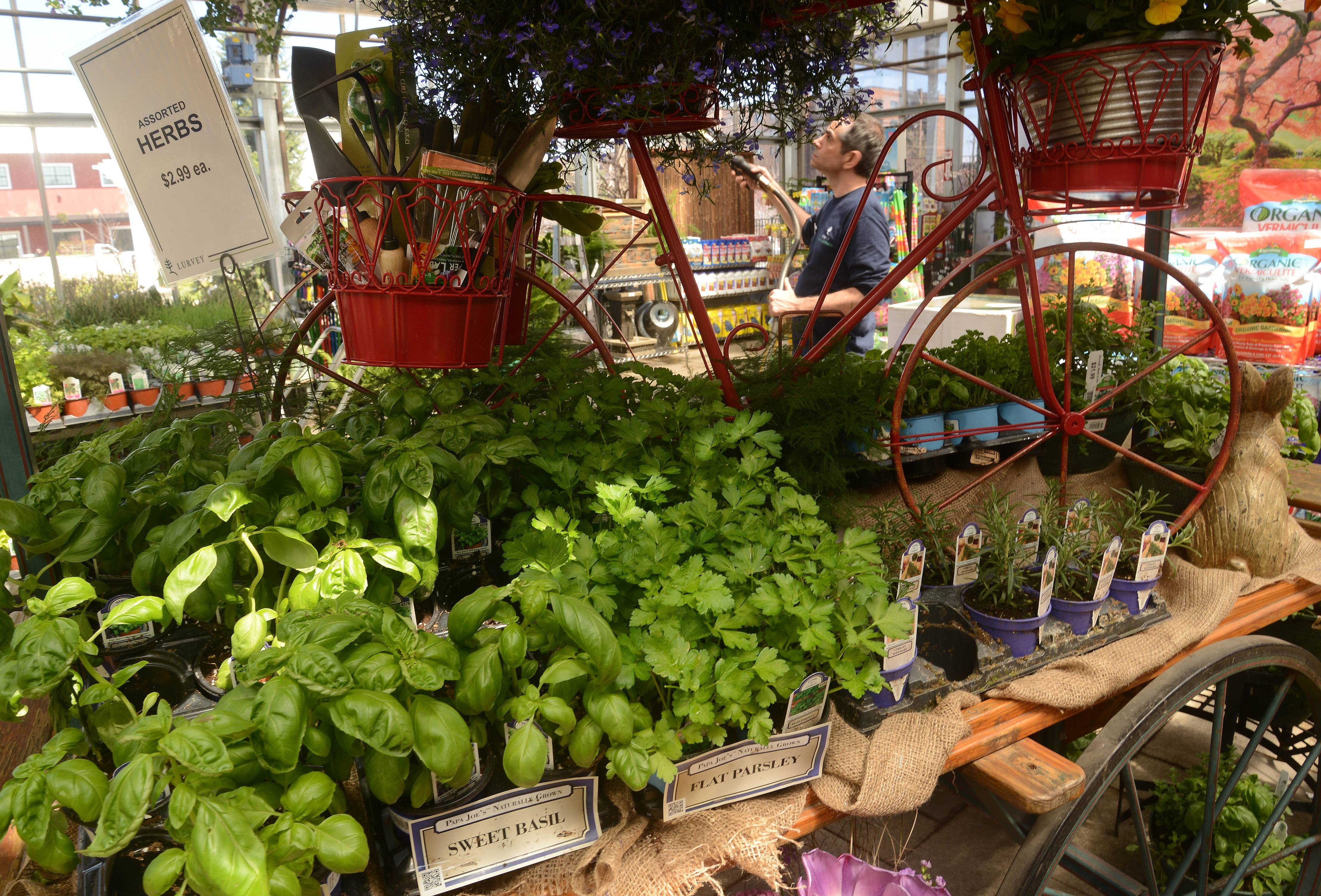 Basil and parsley await buyers on the herb cart at Lurvey's Garden Center in Des Plaines.