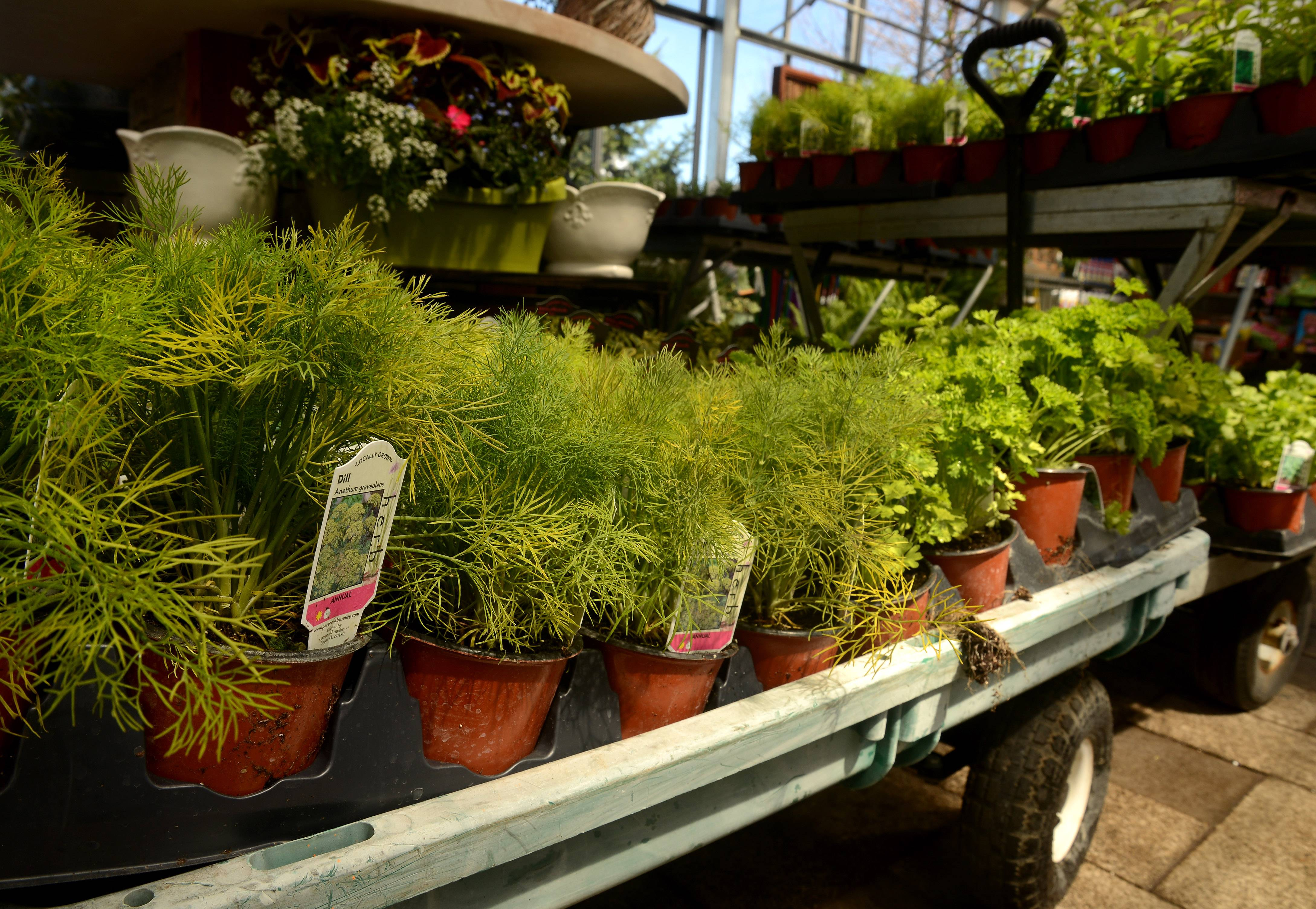 Dill is among other herbs on an herb cart at Lurvey's Garden Center in Des Plaines.