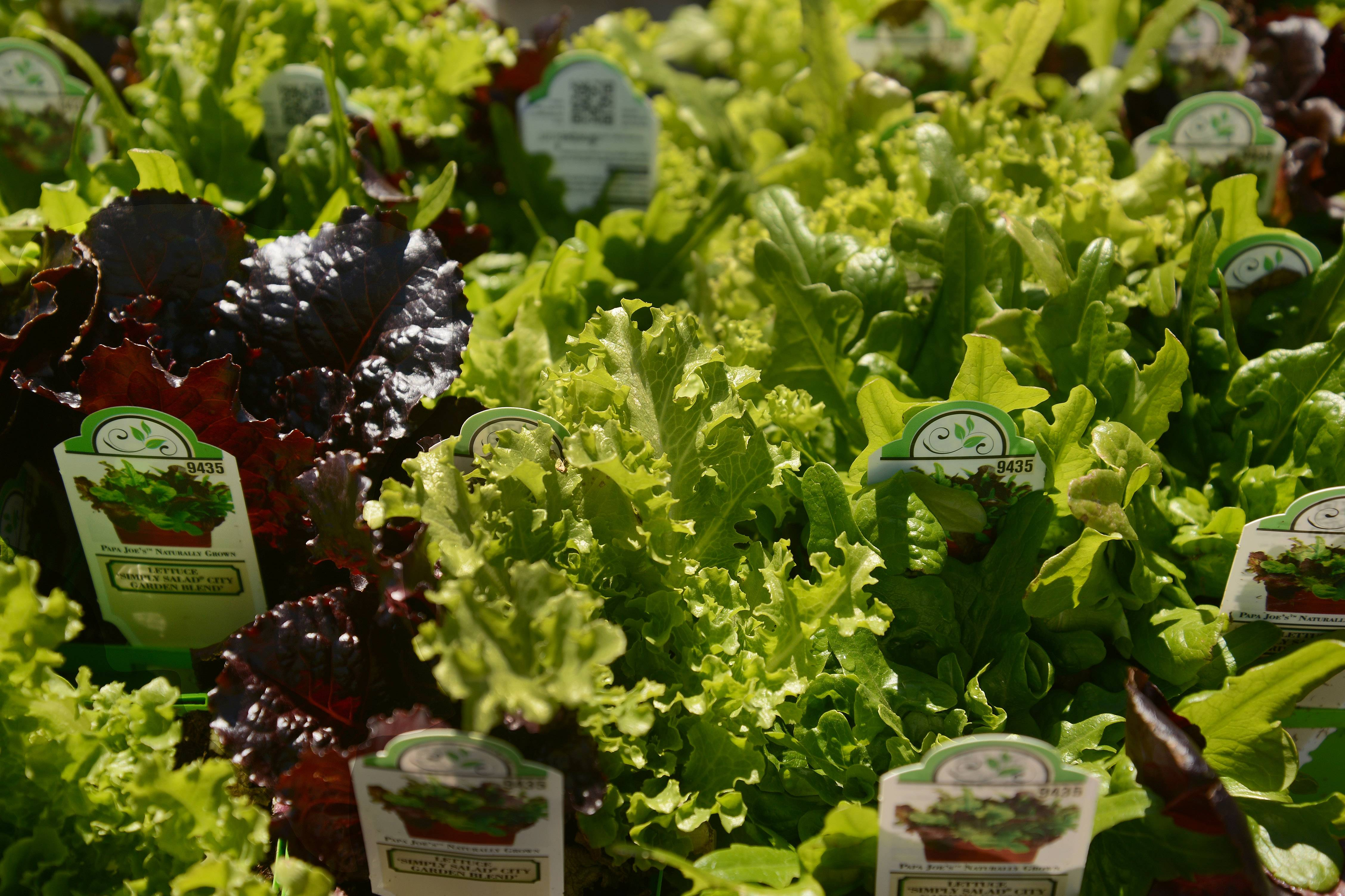 Lettuces, shown here at Lurvey's Garden Center in Des Plaines, are an example of a cool-season crop that can handle the cold nights. They can be planted now for a June harvest and again in late August for a fall harvest.