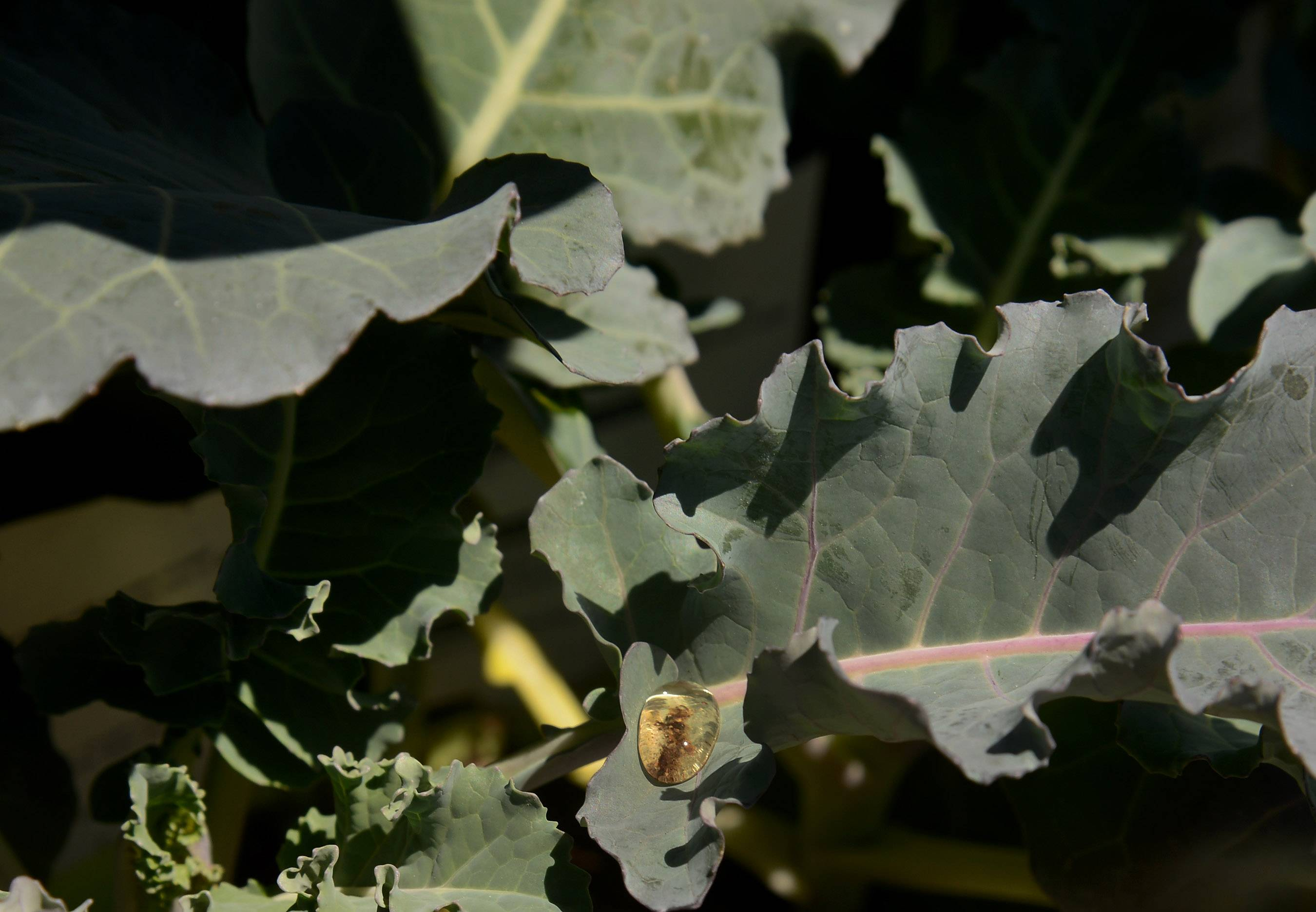 Broccoli, shown here at Lurvey's Garden Center in Des Plaines, is an example of a cool-season crop that can handle the cold nights. They can be planted now for a June harvest and again in late August for a fall harvest.