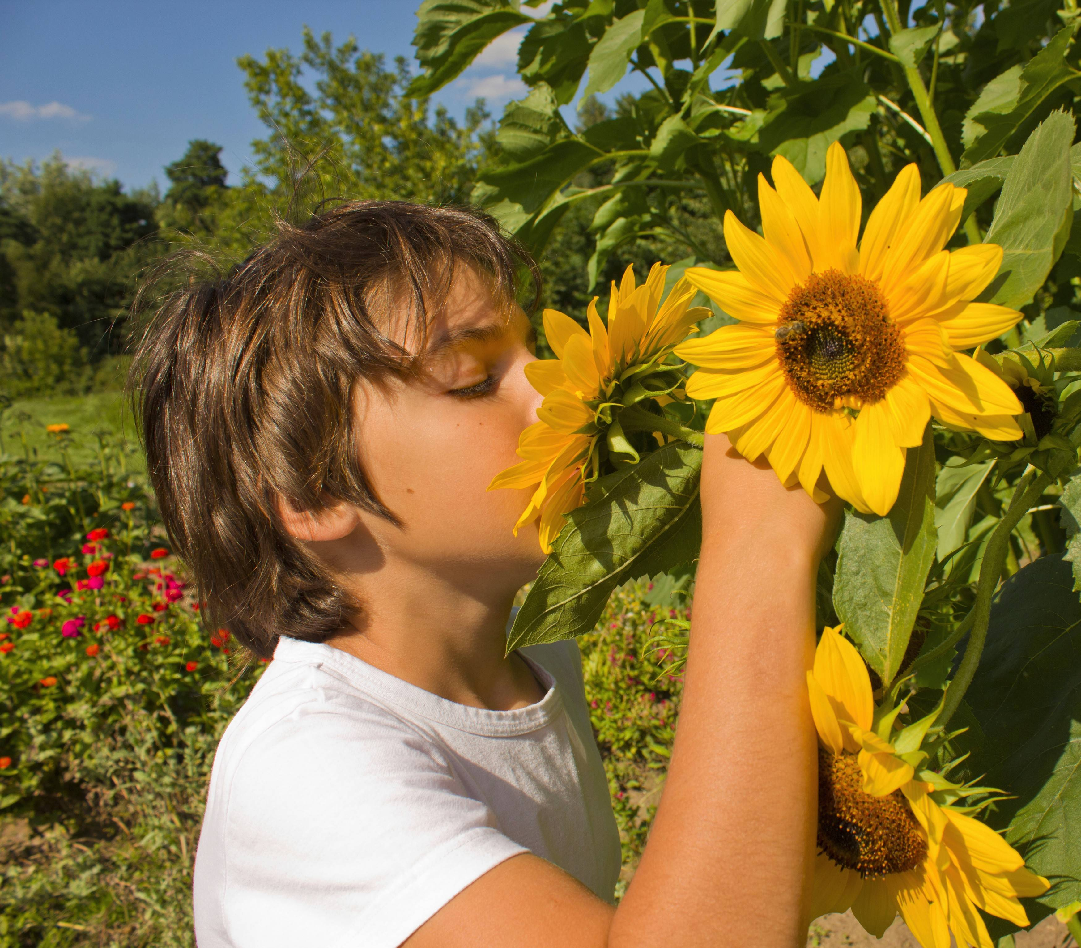 "BEST BET: Sunflowers for summer fun -- sow them or transplant them into a little backyard ""room"" children can visit."