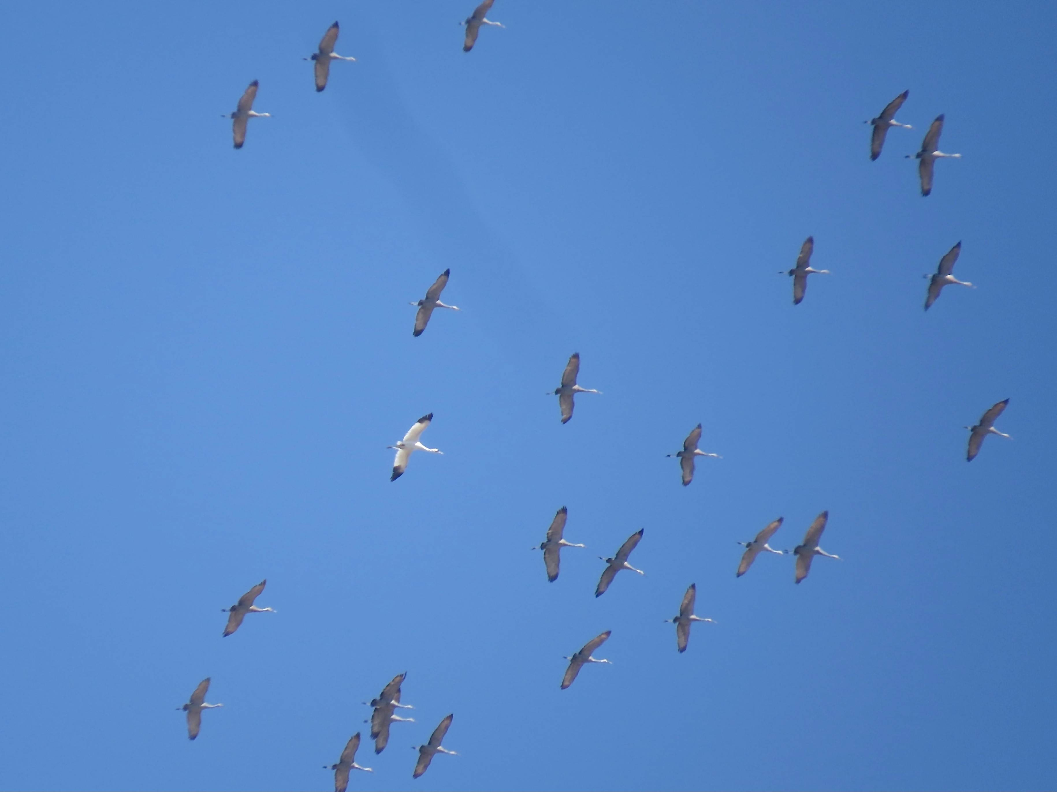 Sharp-eyed birder Jody Zamirowski spotted a rare whooping crane migrating with a flock of sandhill cranes on March 30 at the Morton Arboretum. Whooping cranes once were on the verge of extinction with just eight birds. Now the population is around 500.
