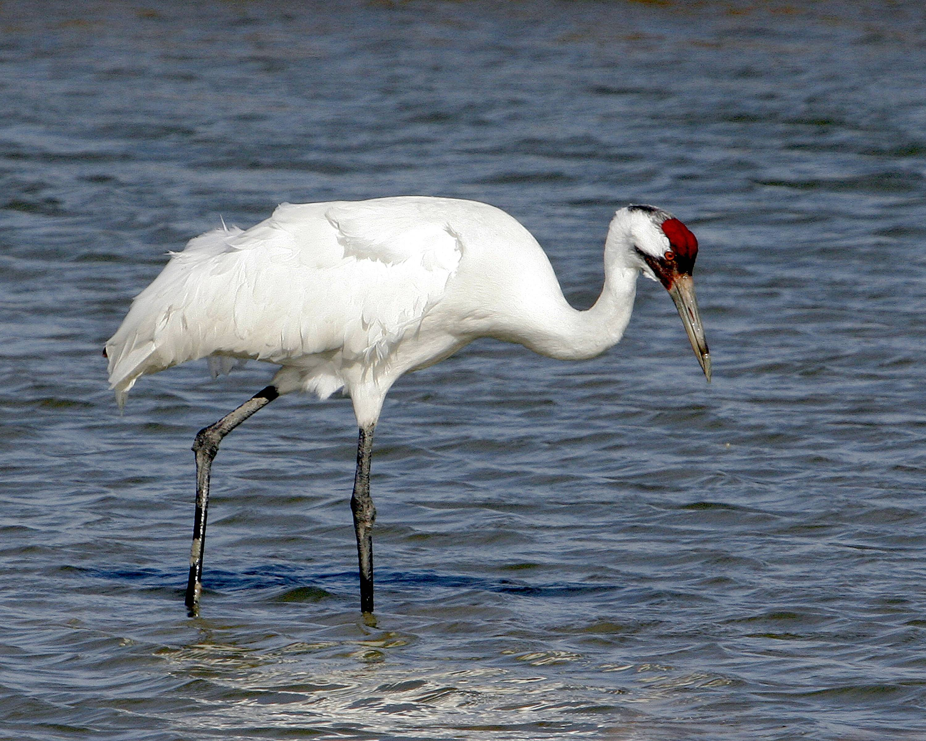 Whooping cranes once were on the verge of extinction with just eight birds. Now the population is around 500.