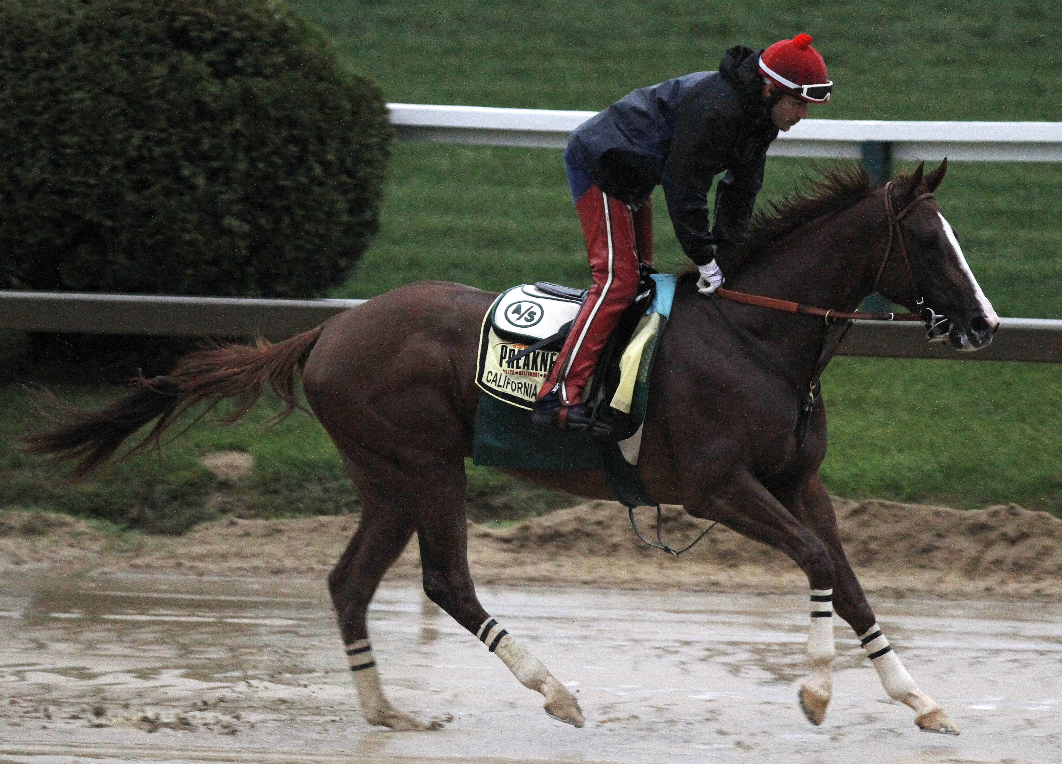 Preakness Stakes favorite California Chrome gallops in the rain under exercise rider Willie Delgado at Pimlico Race Course, Friday, May 16, 2014, in Baltimore. The 139th Preakness Stakes horse race takes place Saturday.