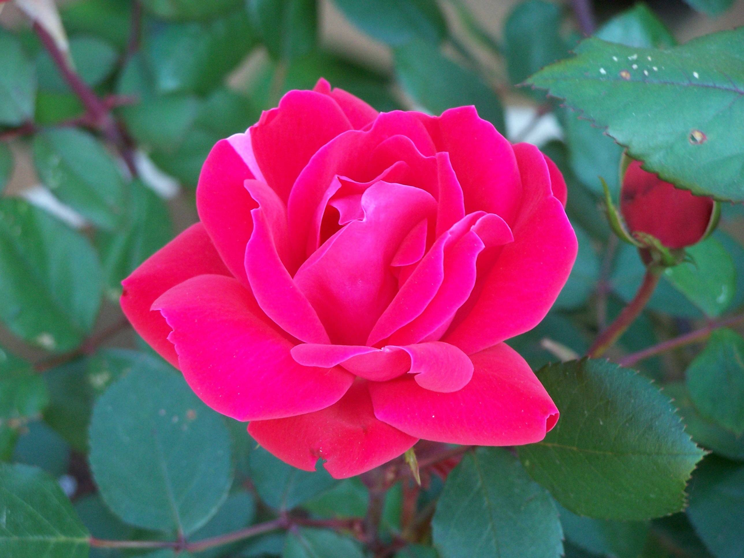 Double Knockout is a beautiful shrub rose that's easy to grow.