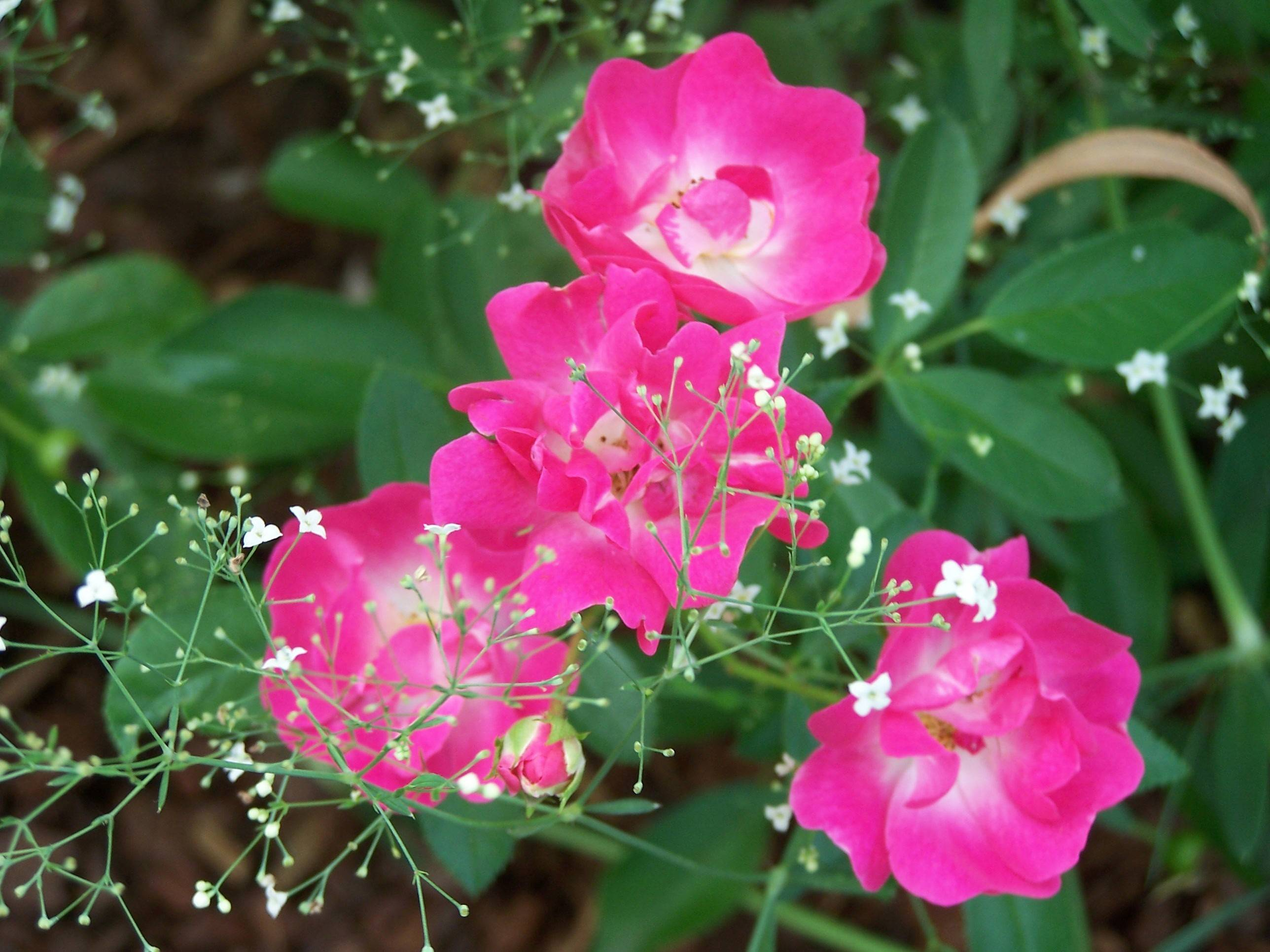 Plant roses in borders where they can mingle with perennials.