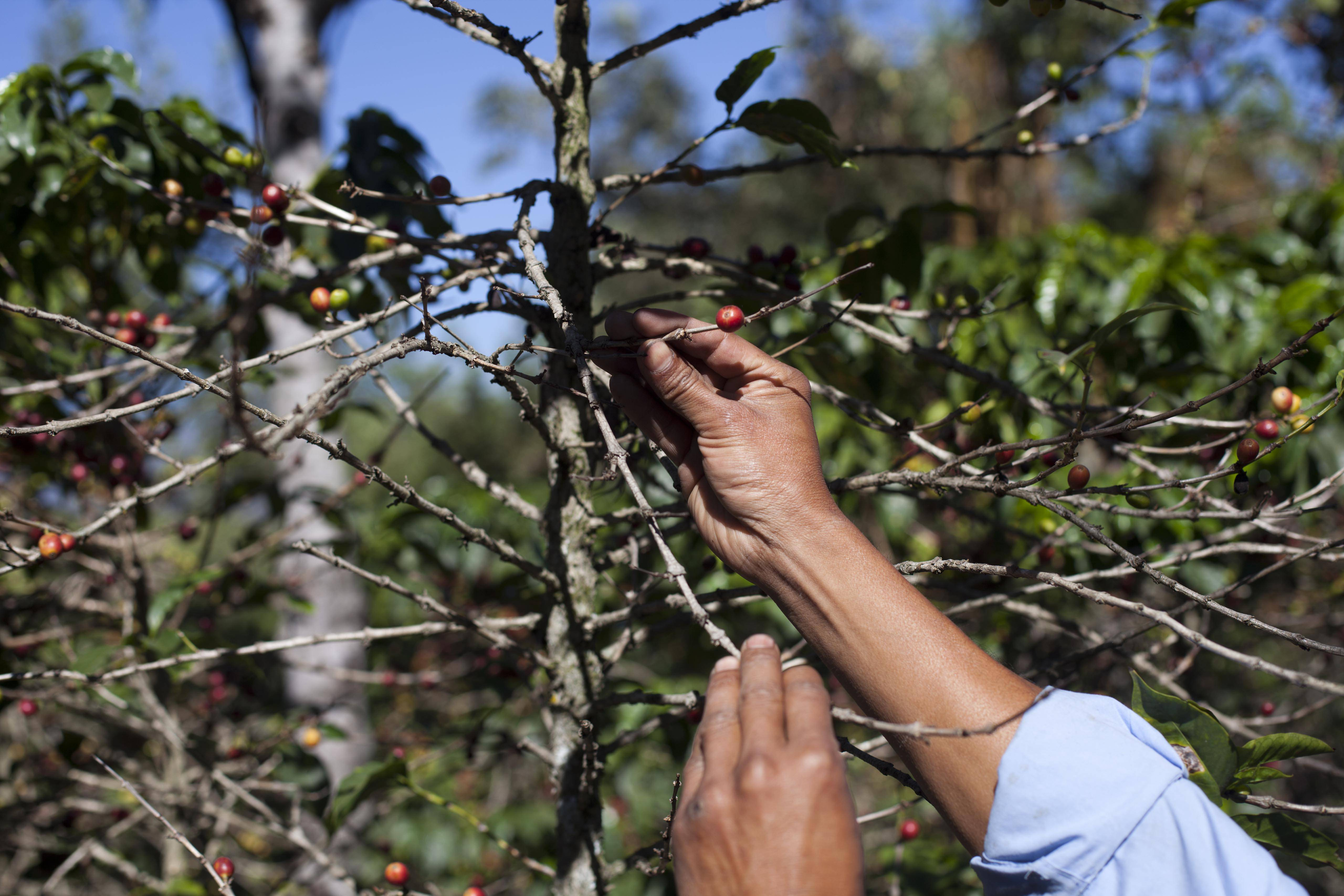 The U.S. government is stepping up efforts to help Central American farmers fight a devastating coffee disease — and to keep the price of your morning cup down.