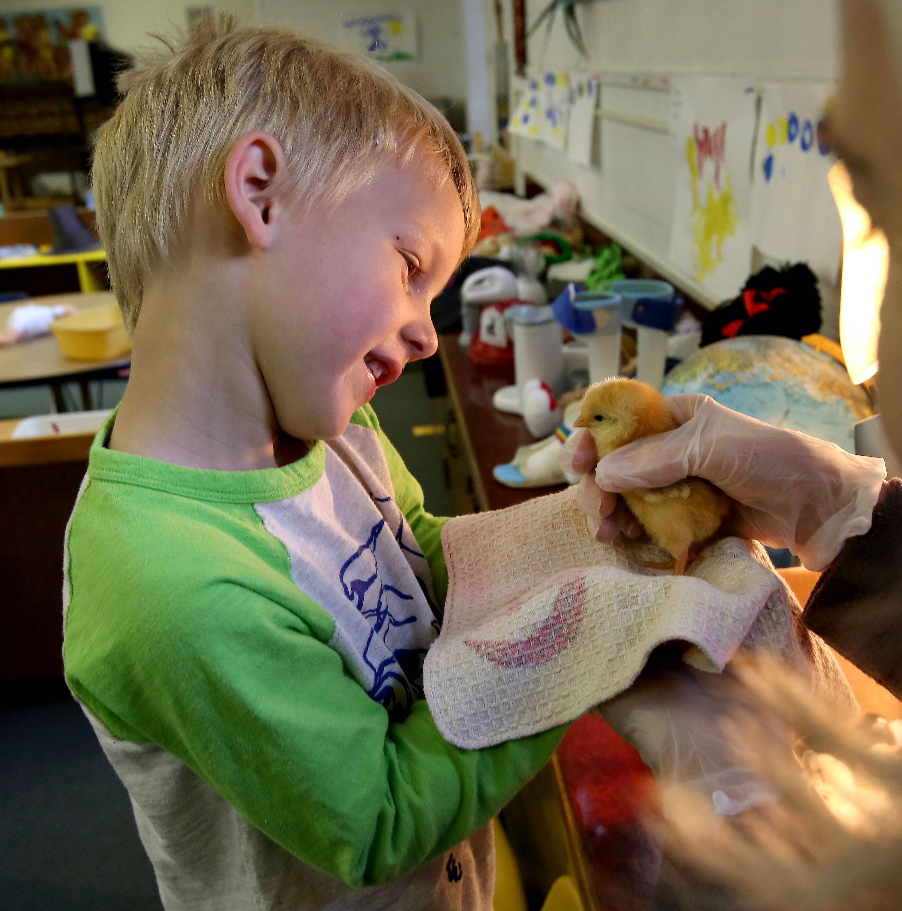 Four-year-old Brady Hamman gets a closer look at a chick at the Loretto Preschool and Retreat in Wheaton. They incubated the chicks for 21 days in the class.