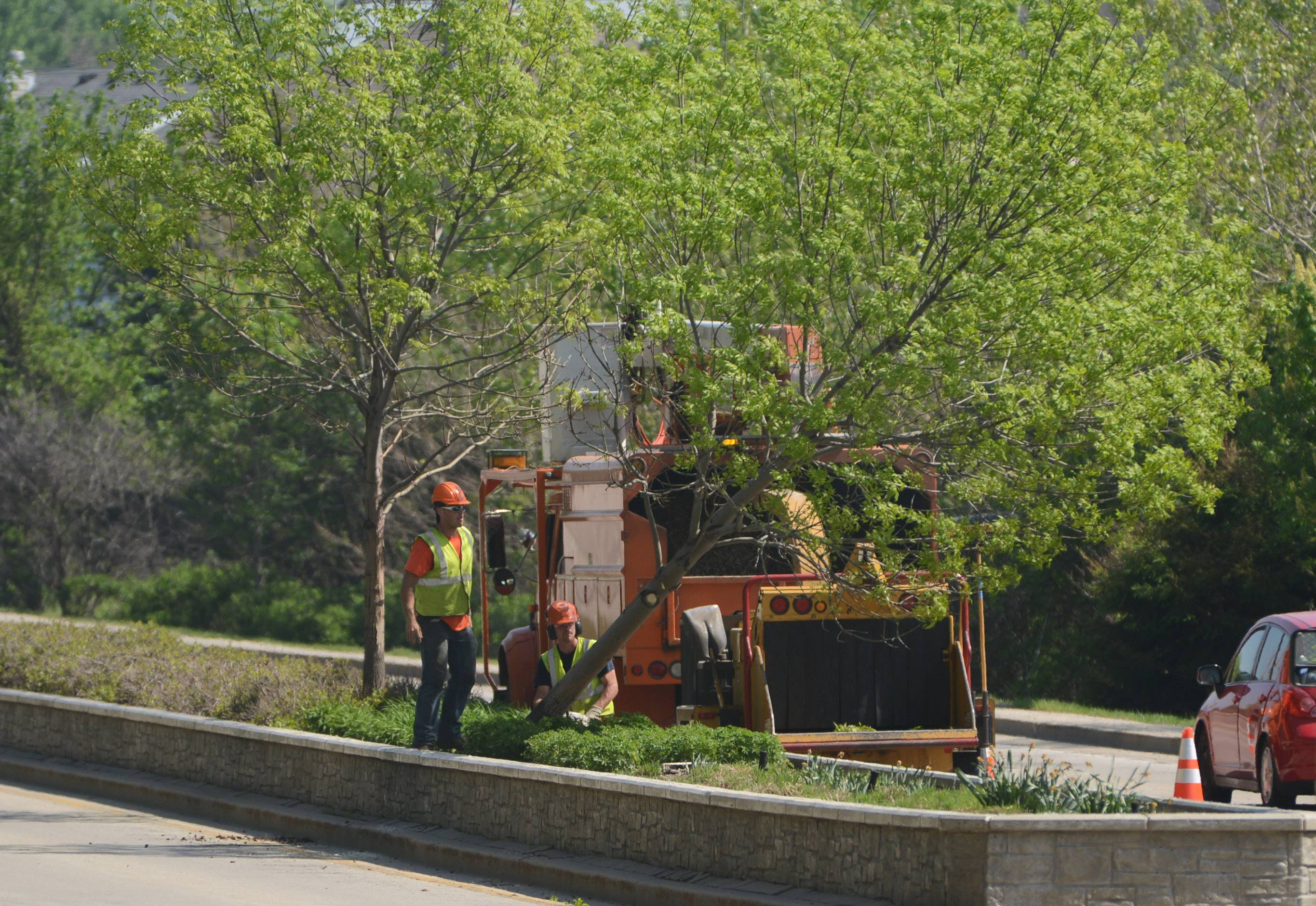 Vernon Hills crews on Tuesday removed ash trees from the planter on Butterfield Road as part of its continuing battle against the emerald ash borer.