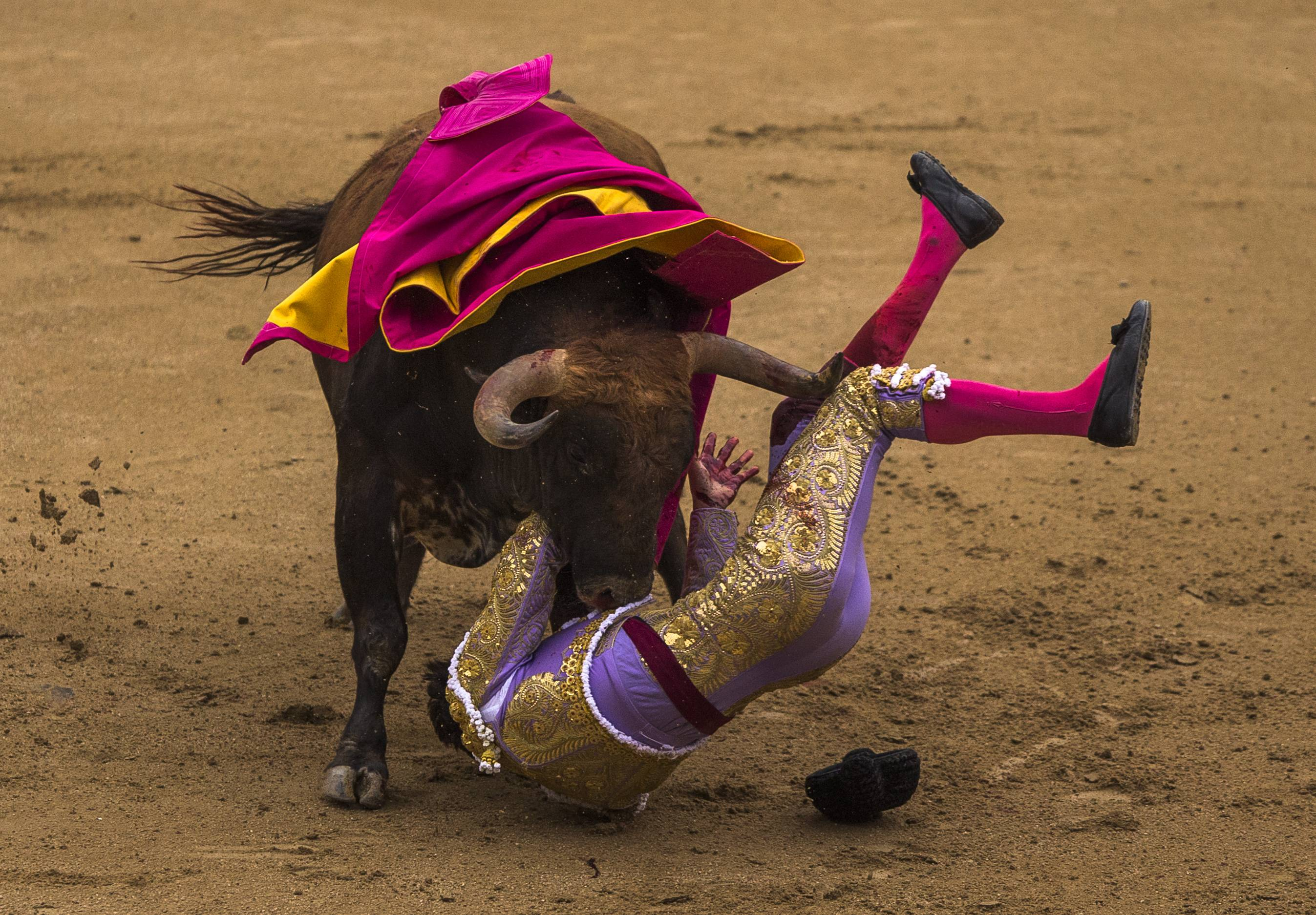 Spanish bullfighter Antonio Nazare is tossed by a Los Chospes ranch fighting bull during a bullfight at Las Ventas bullring in Madrid, Spain, Tuesday, May 20, 2014. Bullfighting is a tradition in Spain and the season runs from March to October.