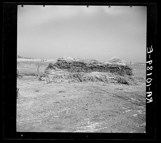 This 1937 photo by Russell Lee shows a stack of hemp grown on George Erickson's farm near Seneca. Illinois grew some hemp in the 1930s but greatly increased production during World War II.