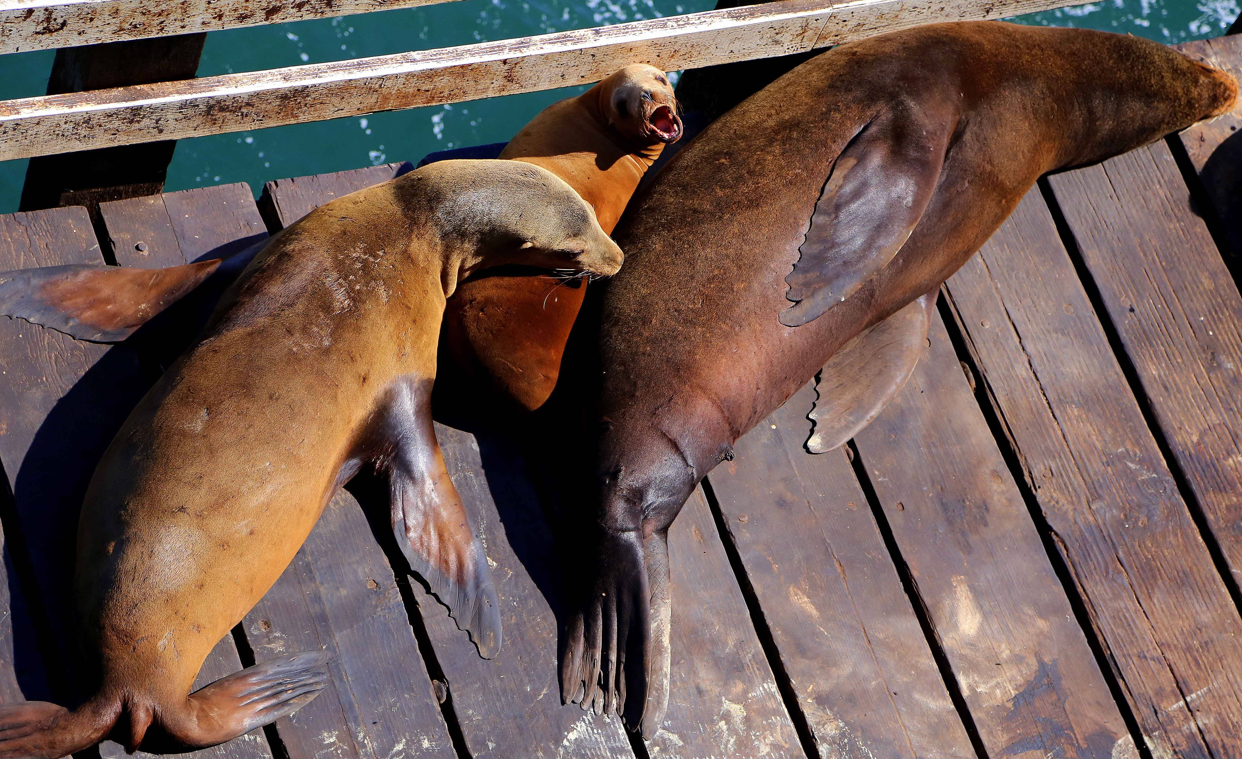 Sea lions enjoy a nap on the Santa Cruz Municipal Wharf. Watching wildlife is one of the free ways to enjoy Santa Cruz.