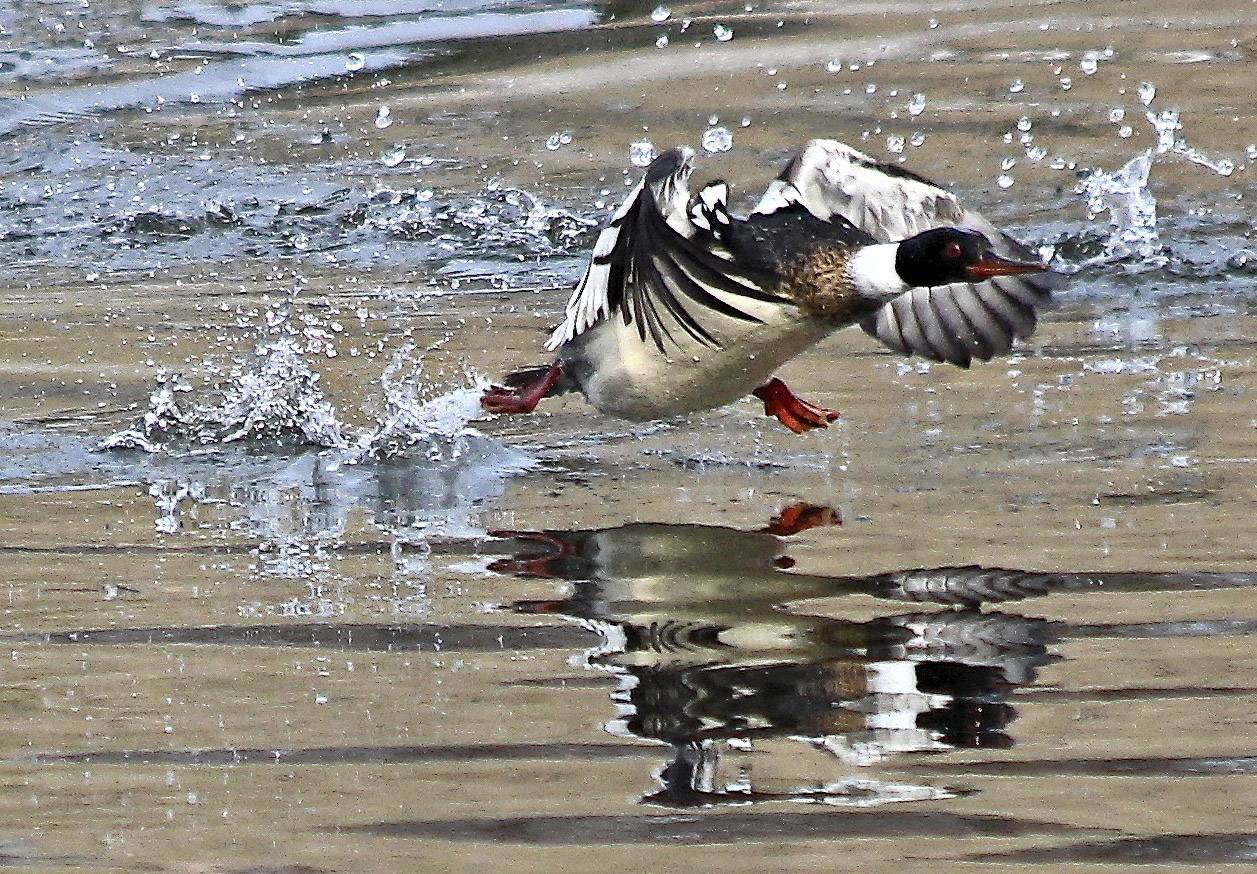 A Red-breasted Merganser takes off from the shore at Lake Arlington.